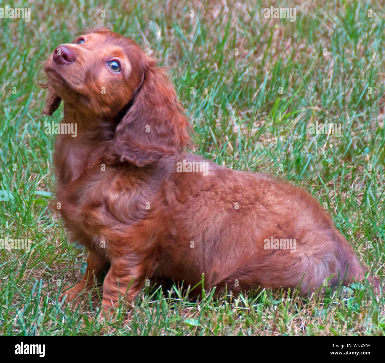 A Photograph Of A Chocolate Longhair Dachshund Puppy Sitting In The Grass Stock Photo Alamy