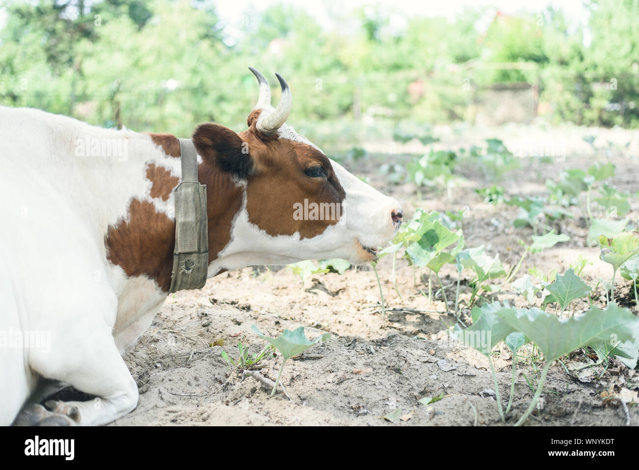 Cute Cow Lies On A Pasture Outdoors And Looks At The Camera Pasture Of Bulls Cows And Calves Stock Photo Alamy