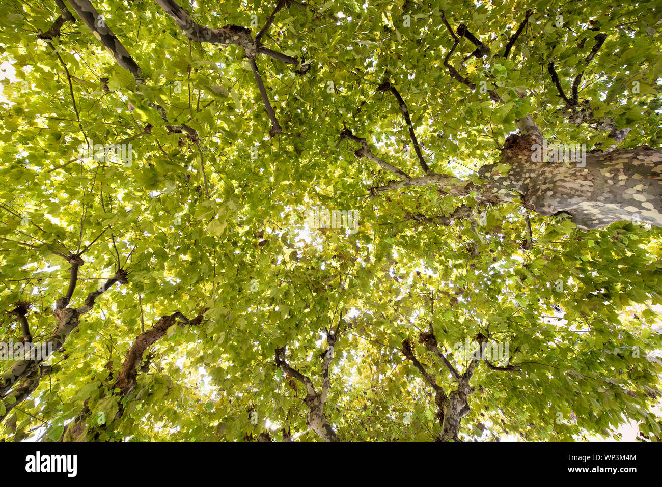 Looking up into the leafy green tree canopy backlit by the summer sun in a full frame background view Stock Photo