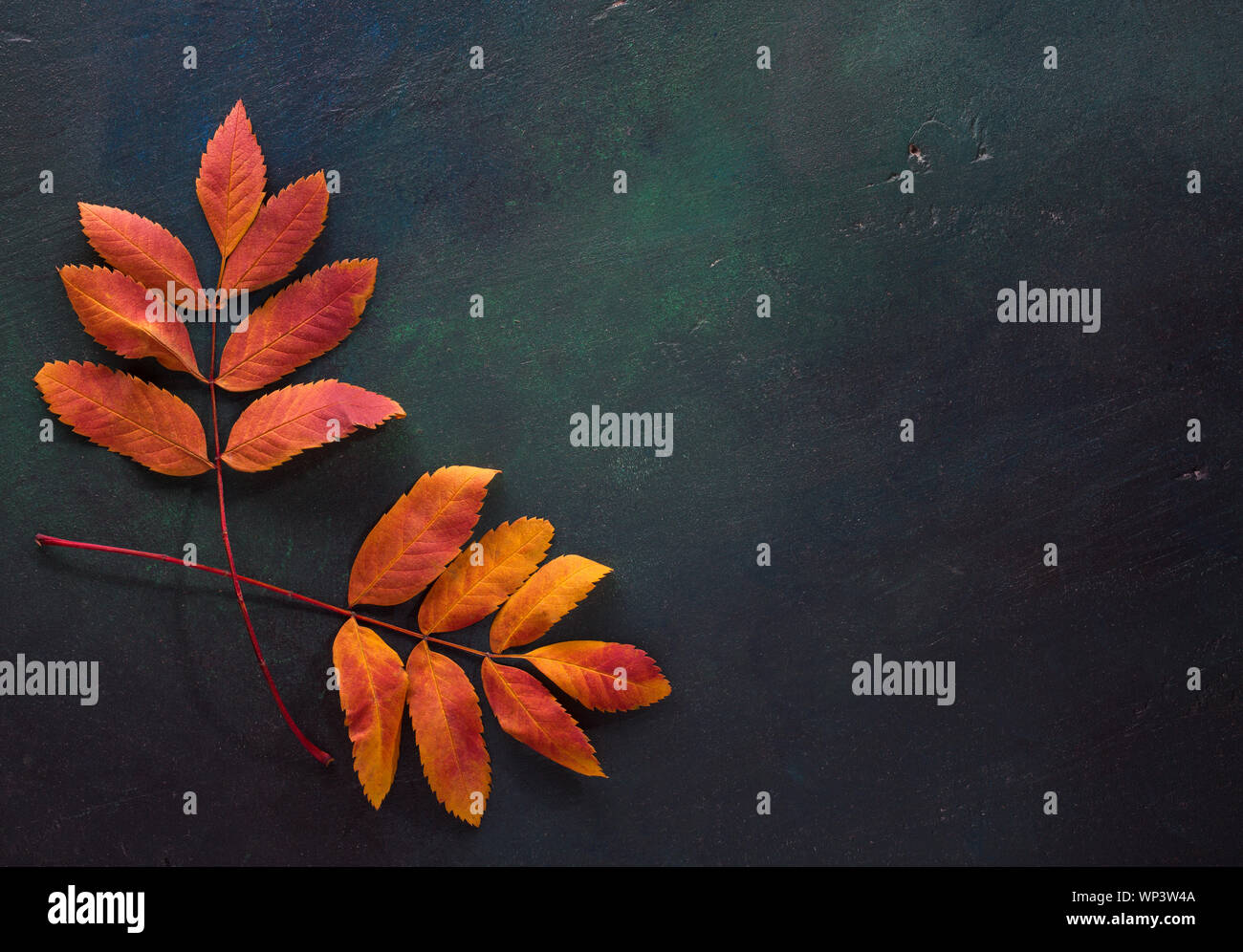 Two colorful autumn leaves of Mountain Ashes on a dark green painted wooden background. Stock Photo