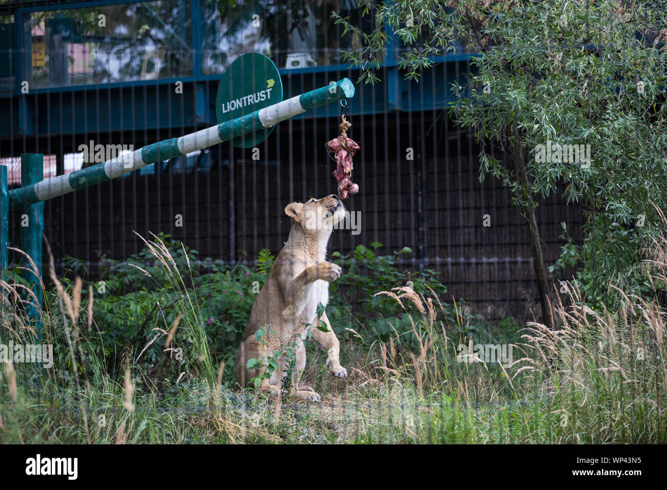 ZSL London Zoo's Asiatic lions given giant 'seesaw' to celebrate World Lion Day 2019 Featuring: Lion Where: London, United Kingdom When: 07 Aug 2019 Credit: Phil Lewis/WENN.com Stock Photo