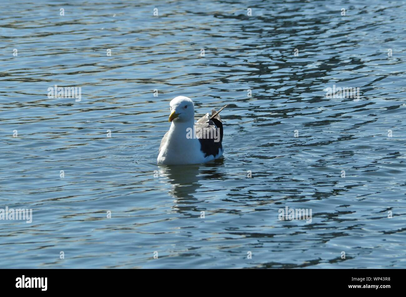 In Reykjavik schwimmt eine Möwe auf auf einem Teich. Stock Photo