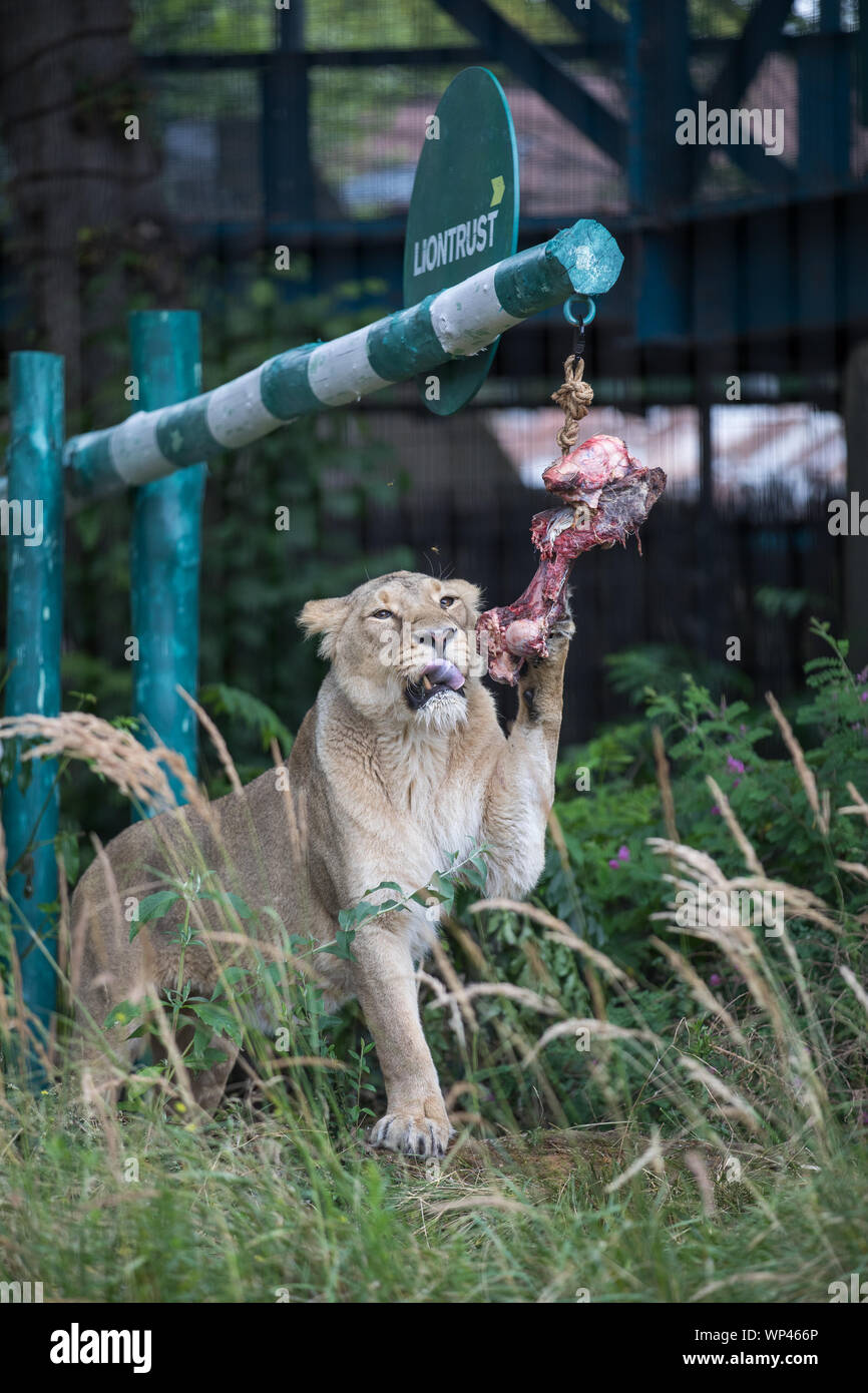 ZSL London Zoo's Asiatic lions given giant 'seesaw' to celebrate World Lion Day 2019 Featuring: Lions Where: London, United Kingdom When: 07 Aug 2019 Credit: Phil Lewis/WENN.com Stock Photo