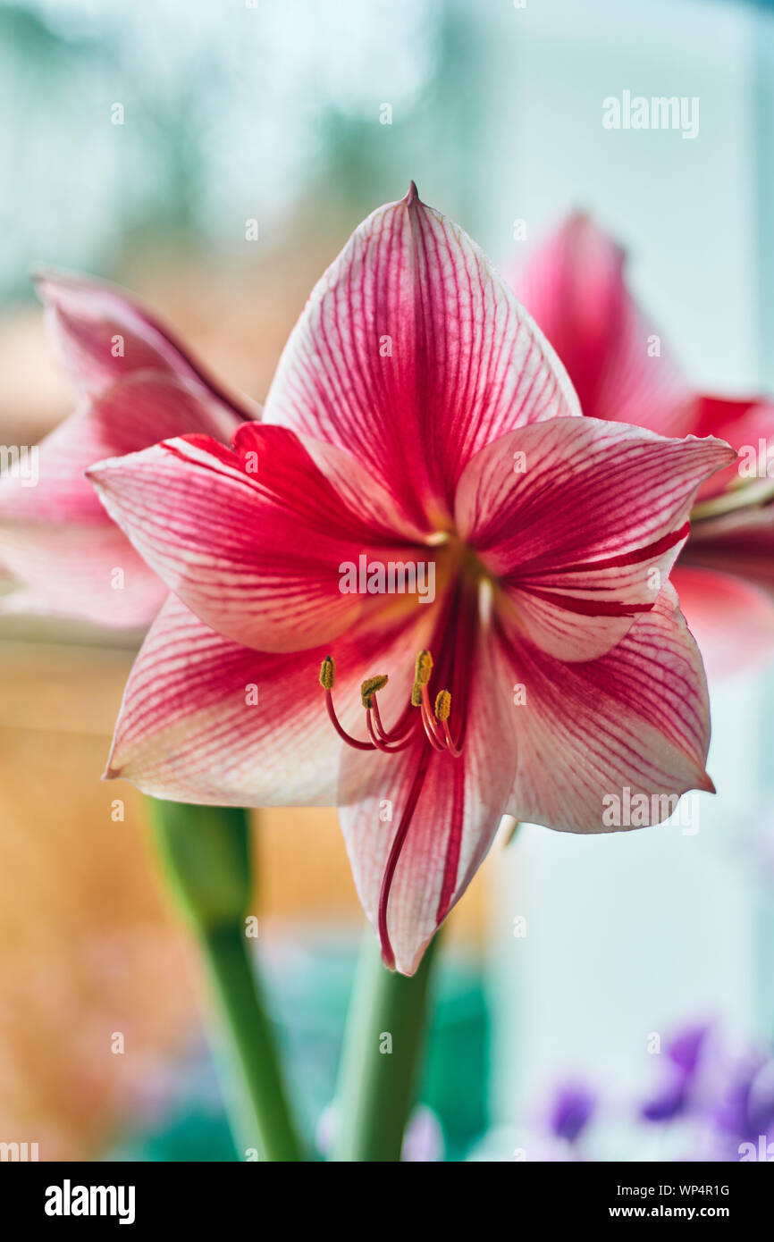 Hippeastrum on the window decorated for Christmas Advent Stock Photo