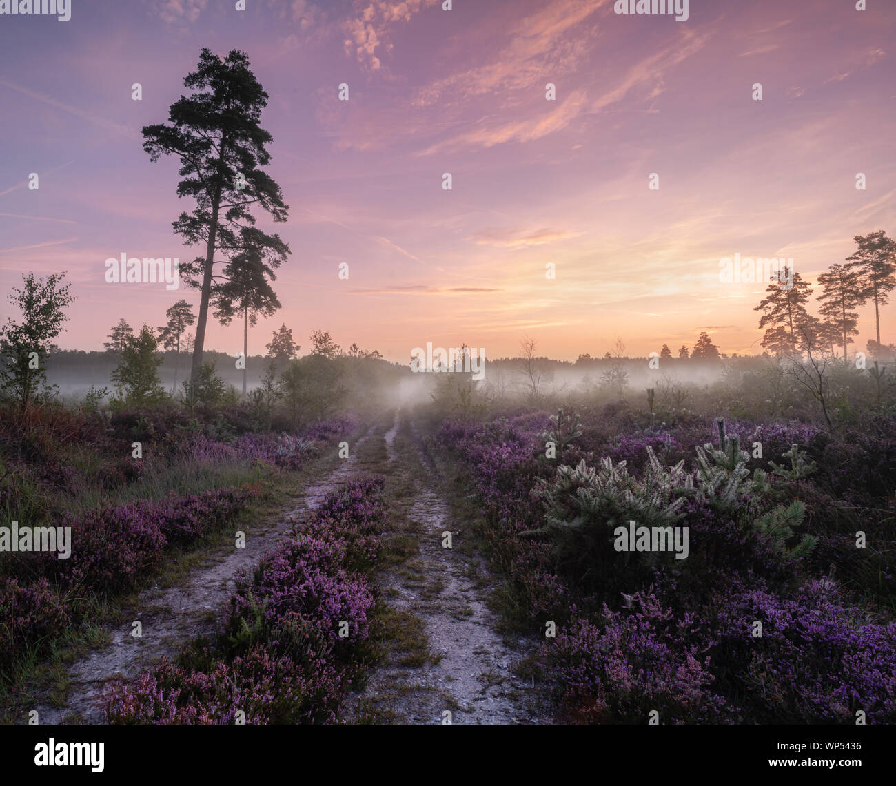 Lavington heather Stock Photo