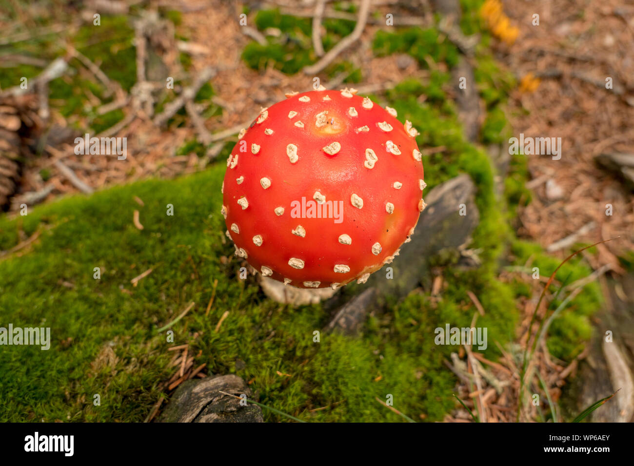 round fly agaric on moss from above Stock Photo