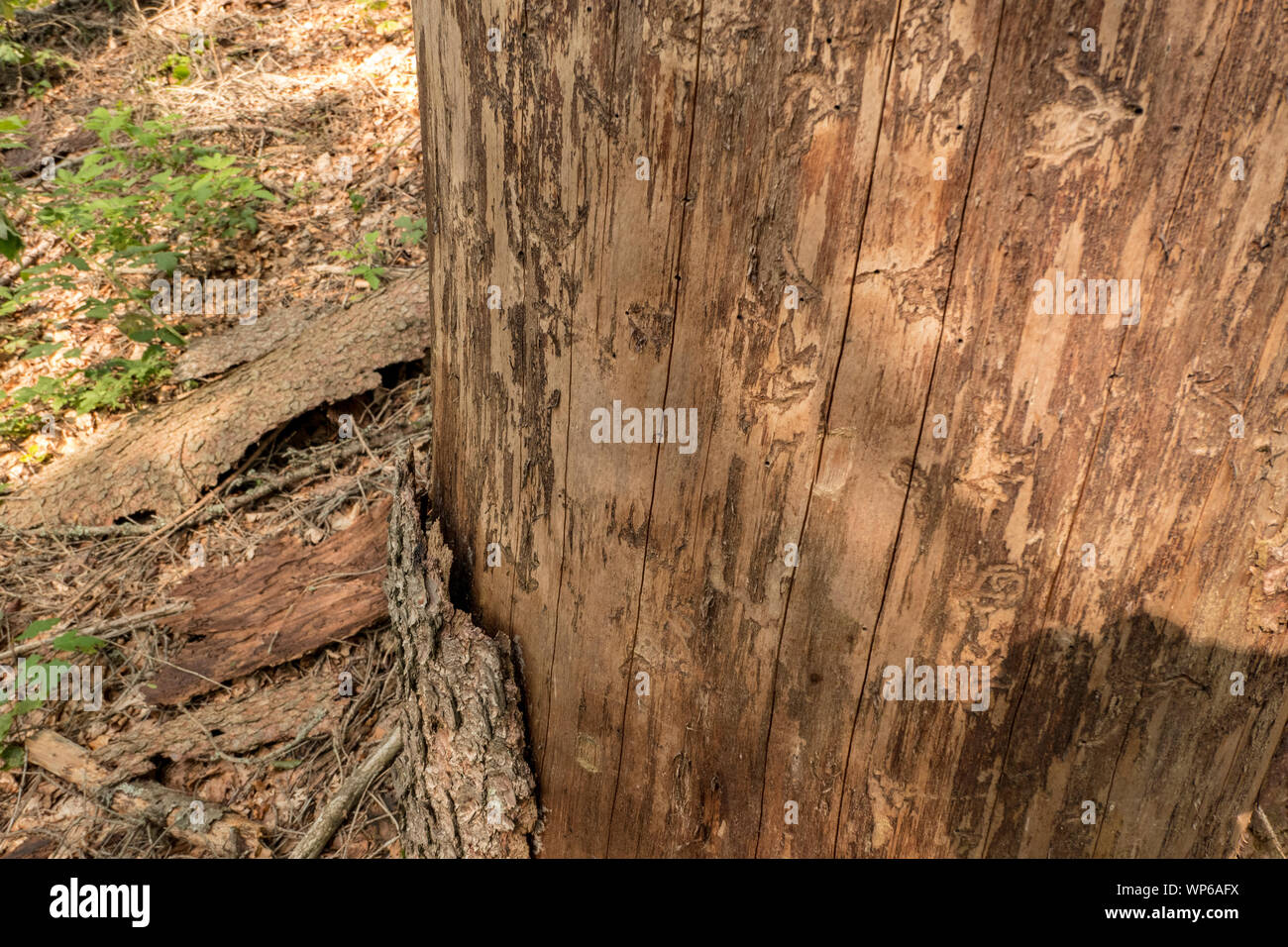 Tree without bark with the corridors of the bark beetle Stock Photo