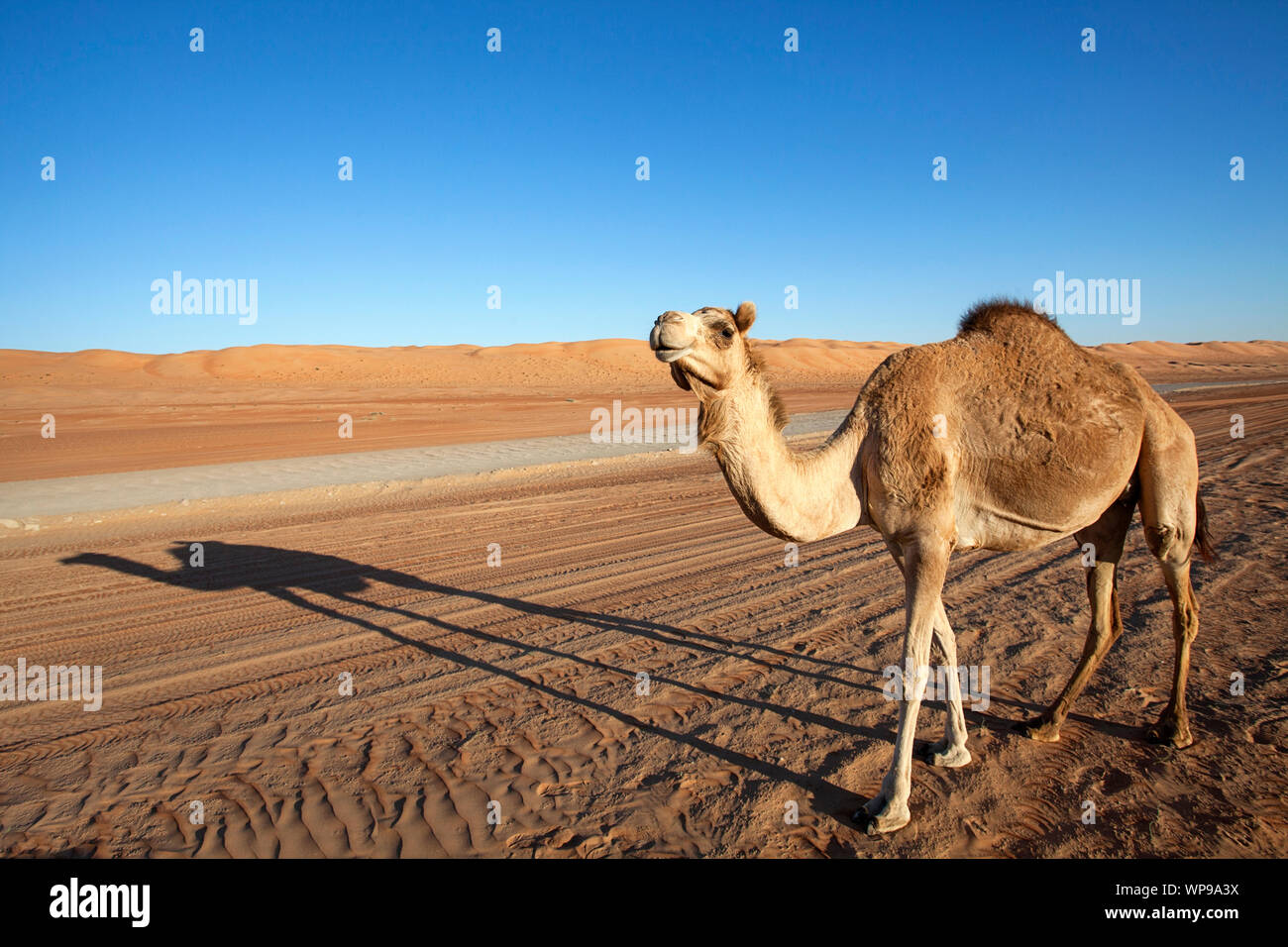 An Arabian camel / one-humped dromedary (Camelus dromedarius) and its shadow standing by the gravel road in Wahiba Sands in Oman Stock Photo