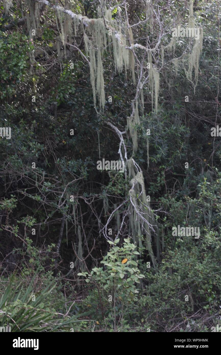 Old Man`s Beard (Usnea barbata) in a riverine forest at  Natures Landing, Kenton-on-Sea, Eastern Cape, South Africa Stock Photo