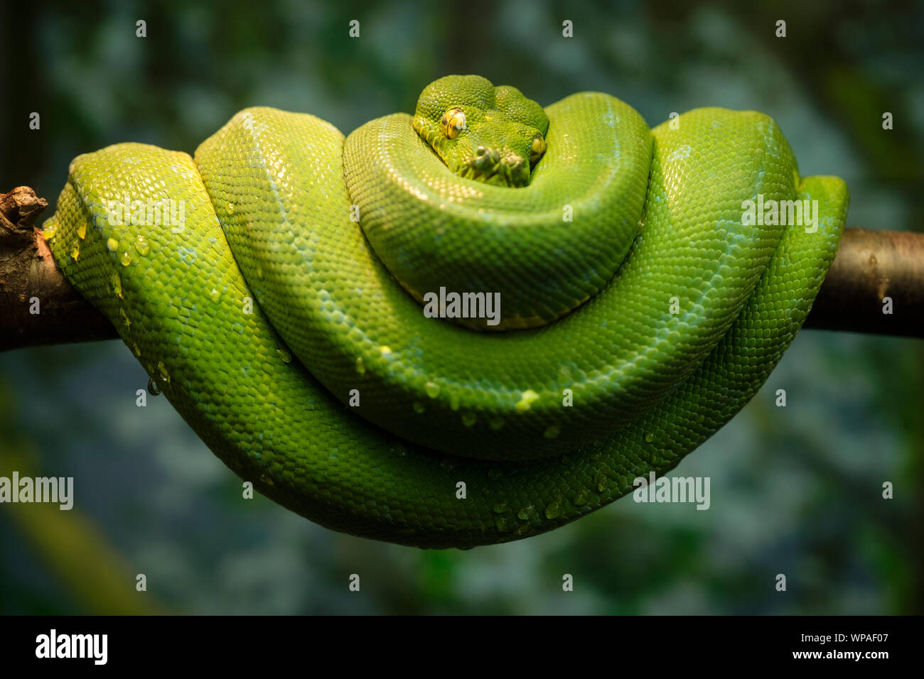 Green snake curled up on a branch. Stock Photo