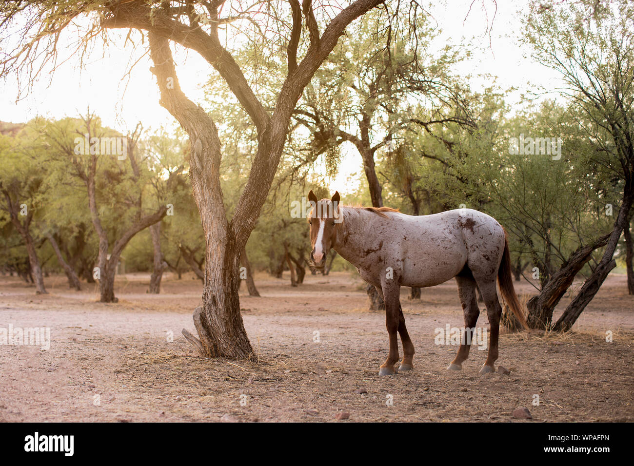 Wild Horse in the desert forest Stock Photo