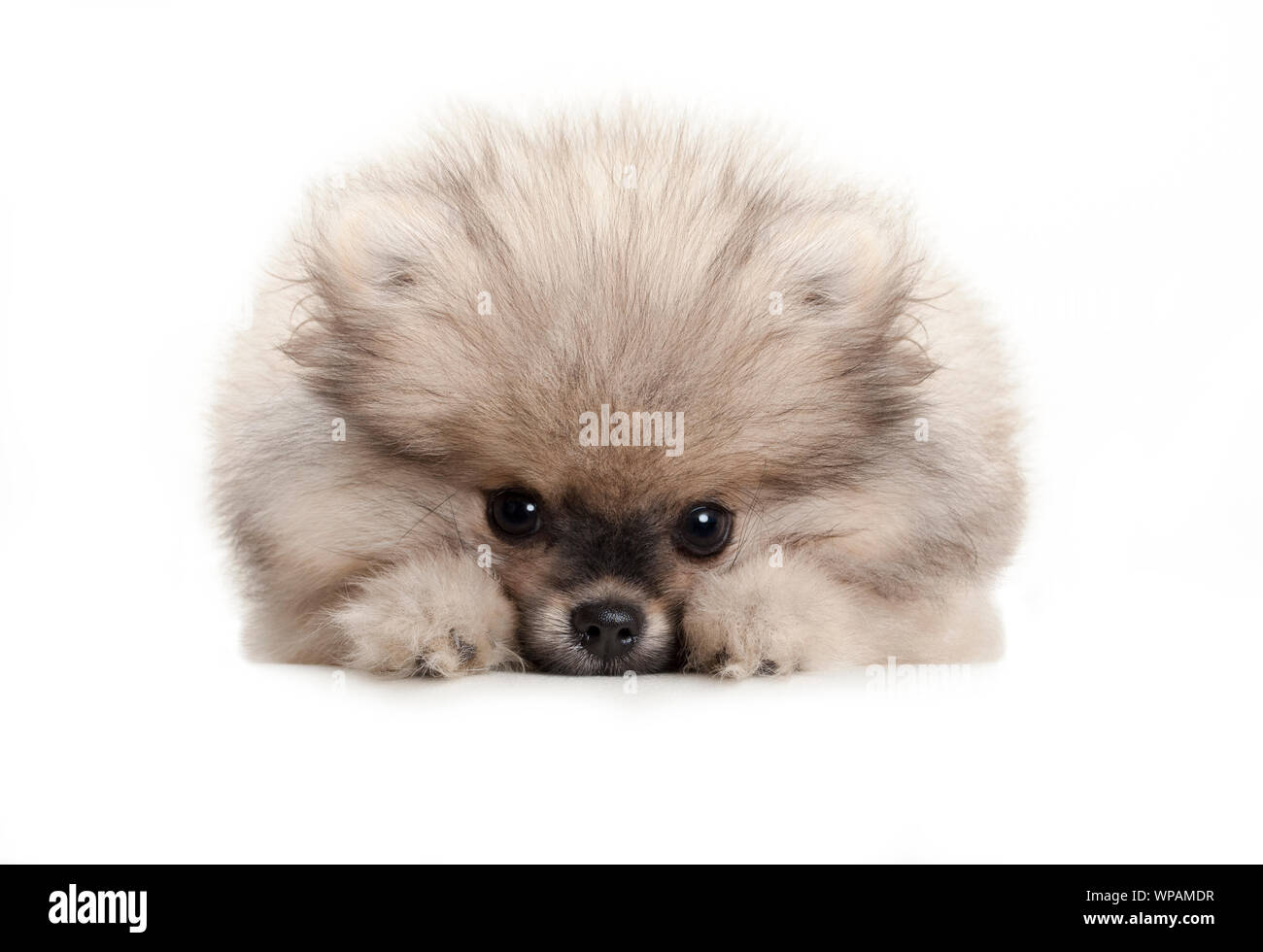 cute pomeranian spitz puppy dog, lying down on white floor, looking shy Stock Photo