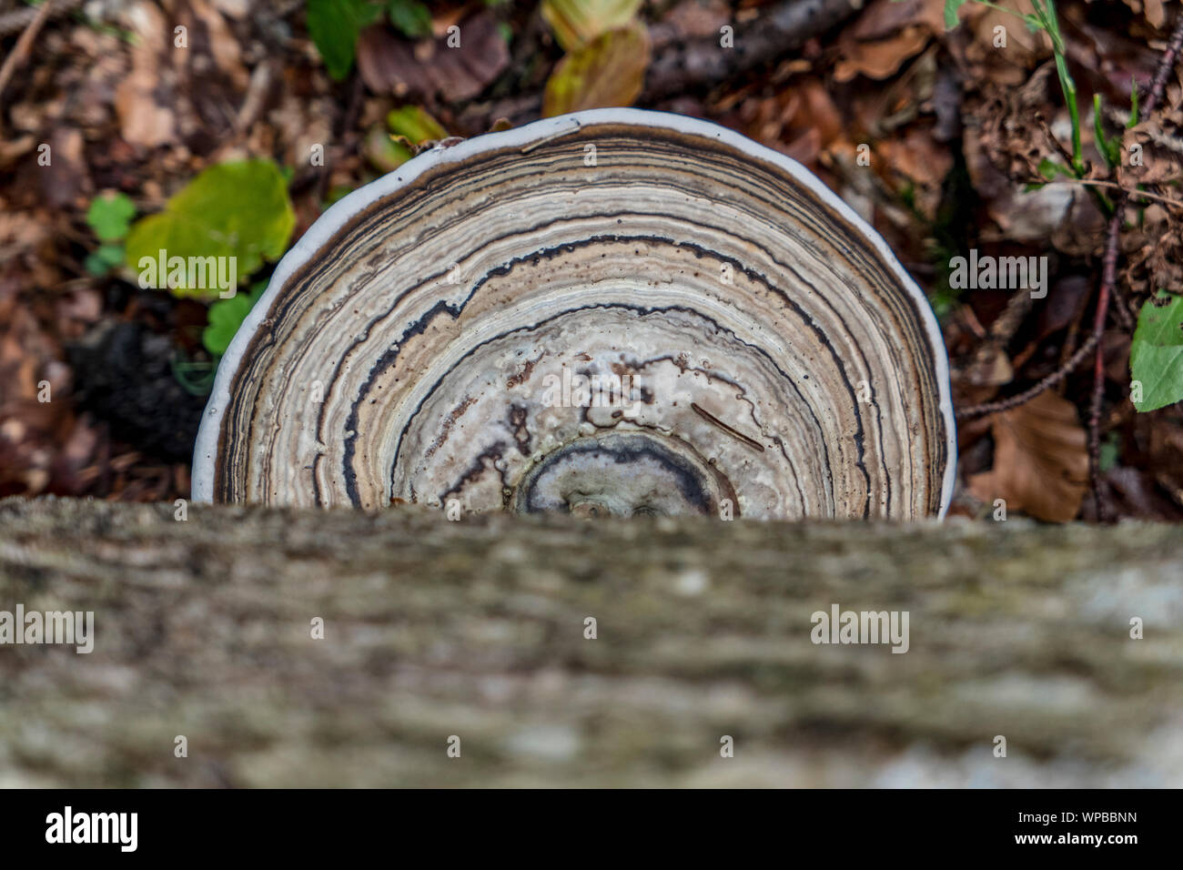 Tree mushroom with nice round drawing above the forest floor Stock Photo