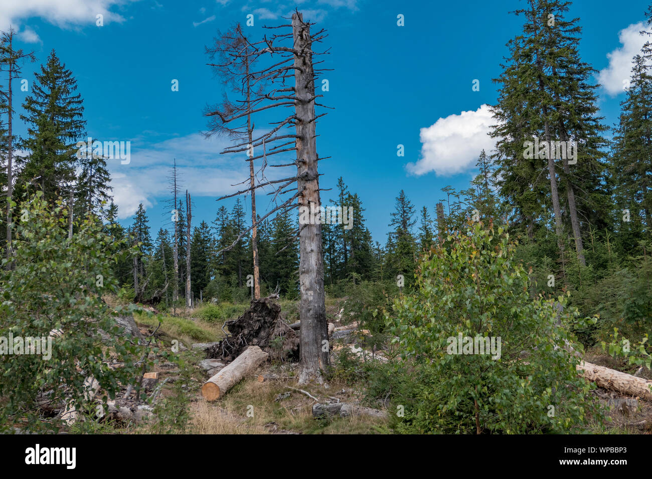 Invasion of the bark beetle destroys national park trees Stock Photo