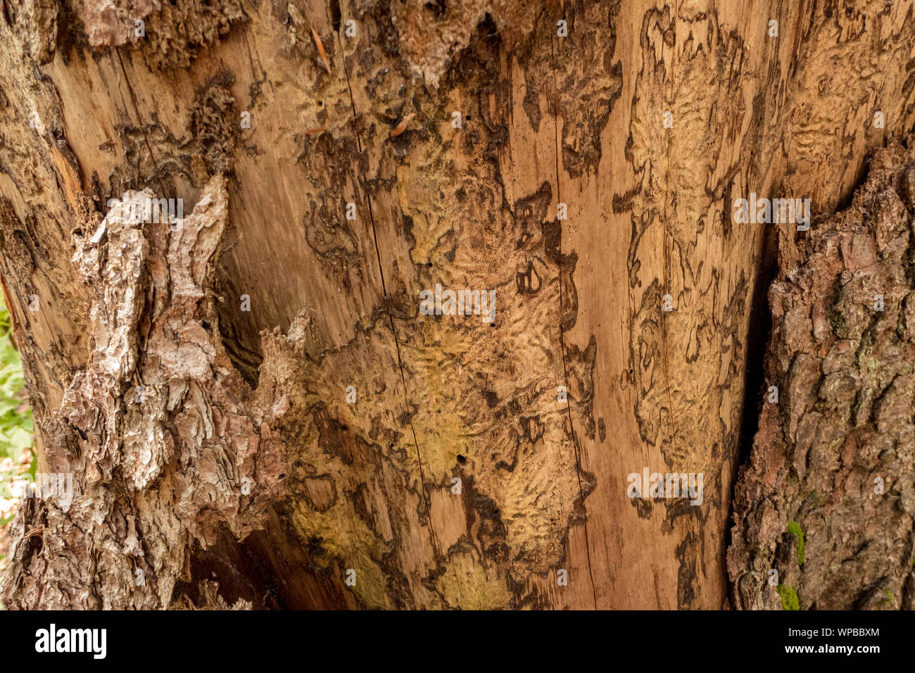 Bark of a tree eaten by bark beetle with corridors Stock Photo