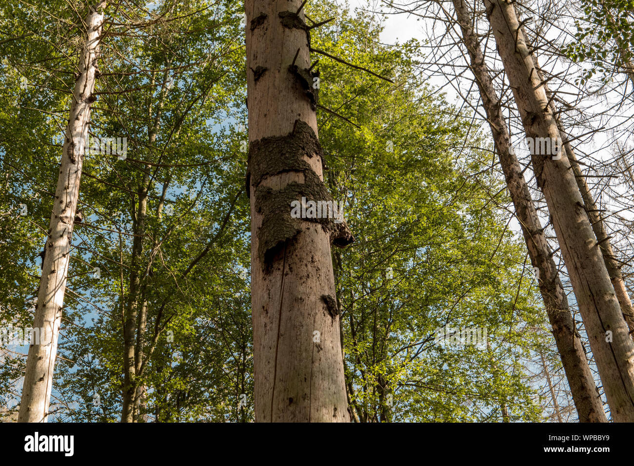 Trees without bark in the national park after bark beetle infestation Stock Photo