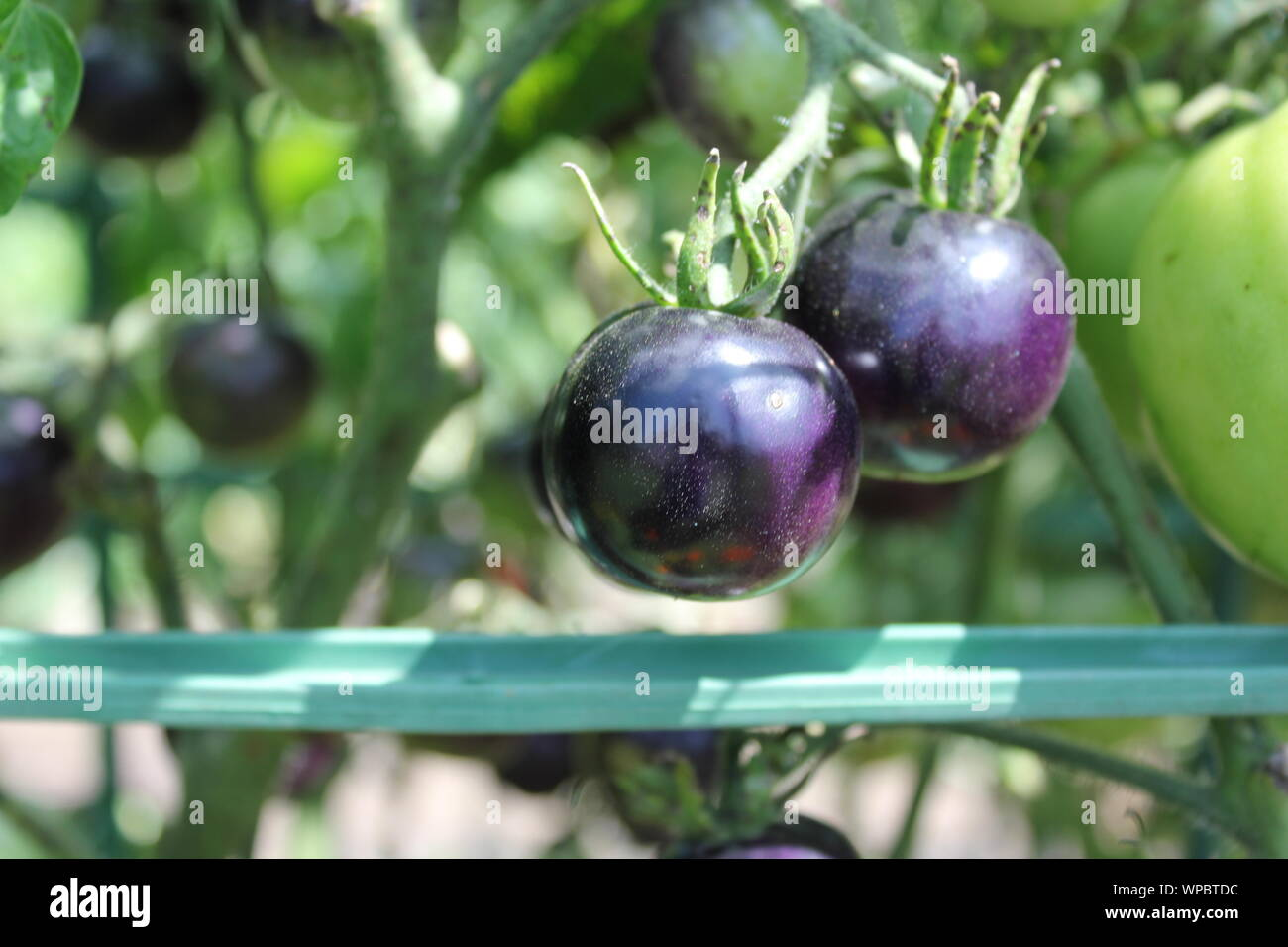 Farm fresh purple cherry tomatoes growing at the local community garden. Stock Photo