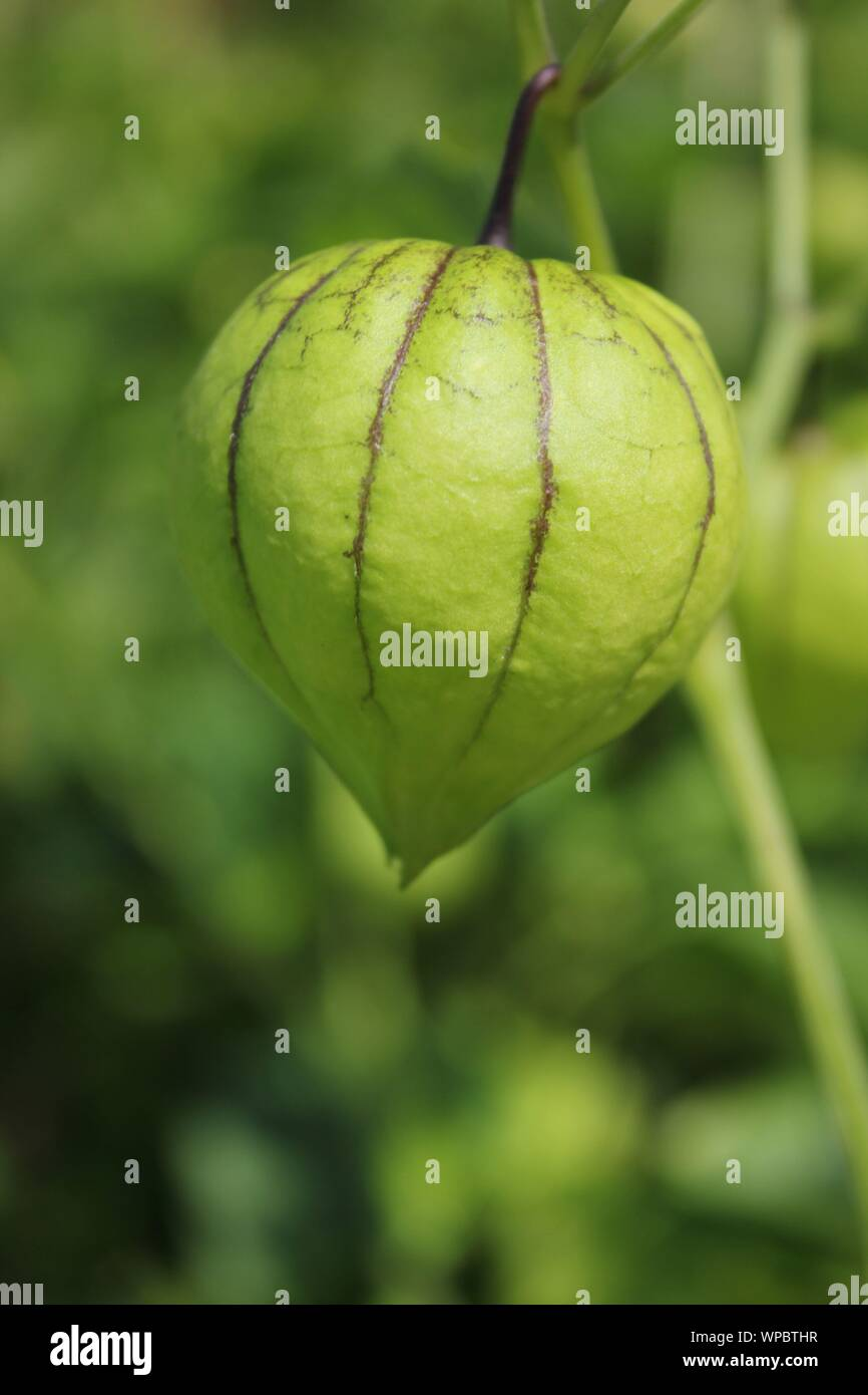 Farm fresh green tomatillos, Mexican husk tomato, produce growing on the vine at the local community garden. Stock Photo