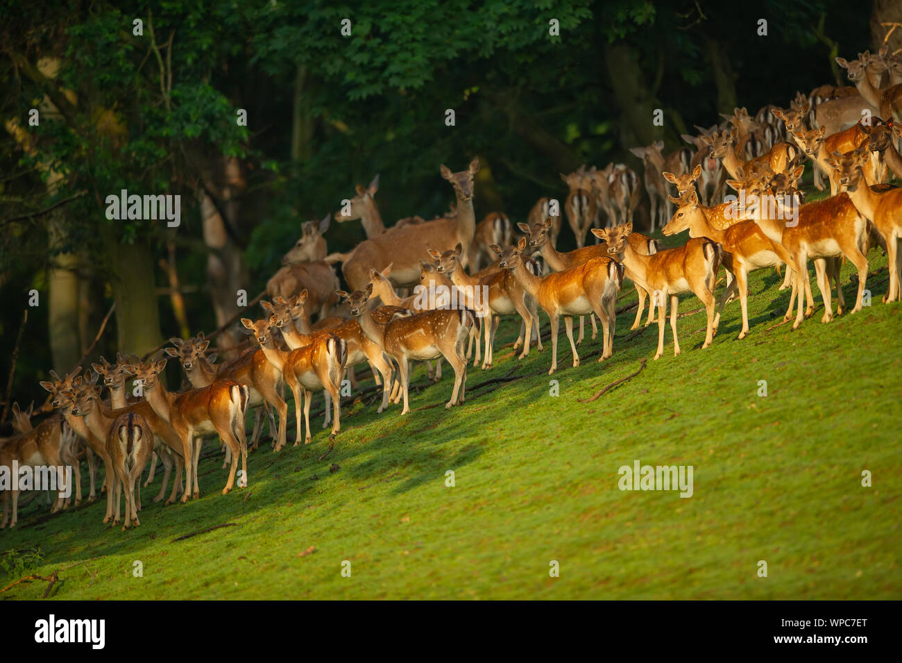 Group Of Fallow Deer In Sunny Day On Green Field Close To The Forest Stock Photo Alamy