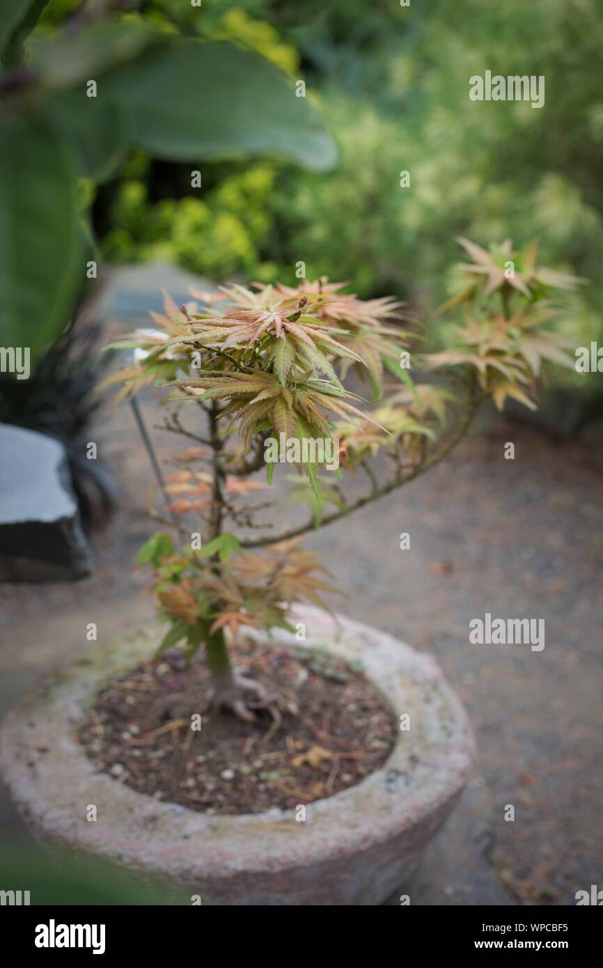 Japanese Maple Container High Resolution Stock Photography And Images Alamy