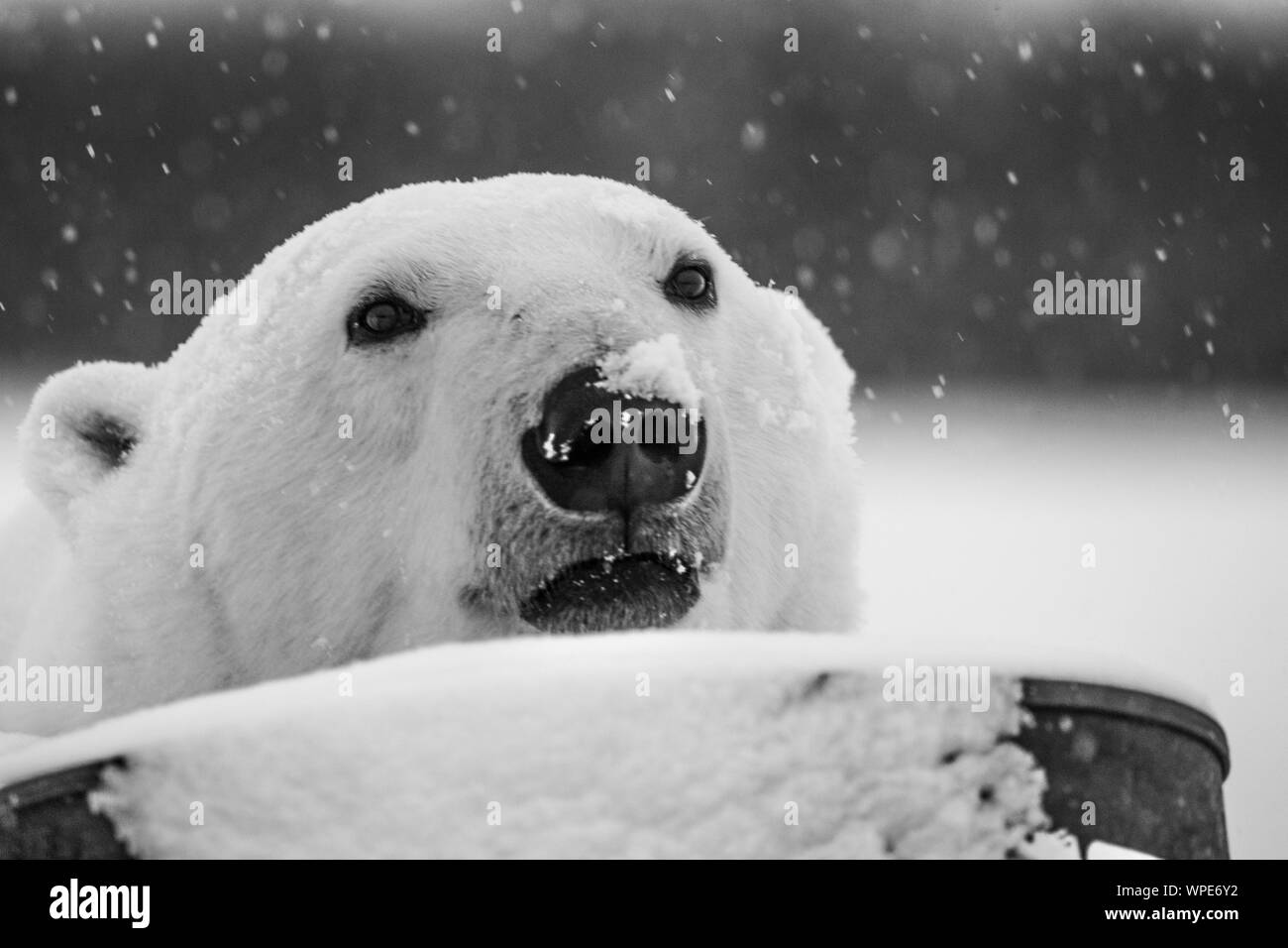 Polar bear with its nose in the  falling snow, Nanuk Lodge, West hudson Bay, Churchill, Manitoba, Canada Stock Photo