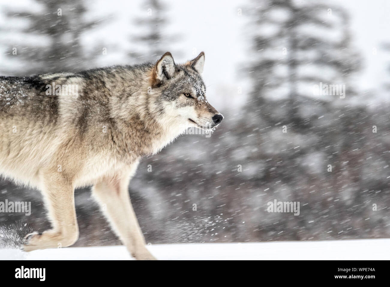 Canadian Timber Wolf walks in the snow, Nanuk Lodge, West Hudson Bay, Churchill, Manitoba, Canada Stock Photo