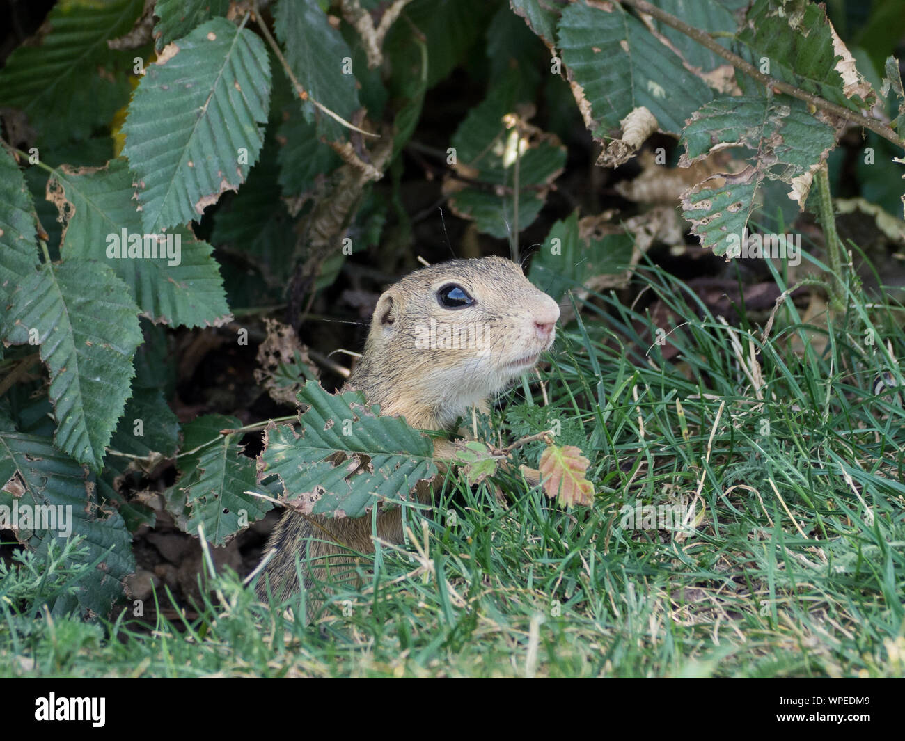 European squirrel comes out of its burrow Stock Photo