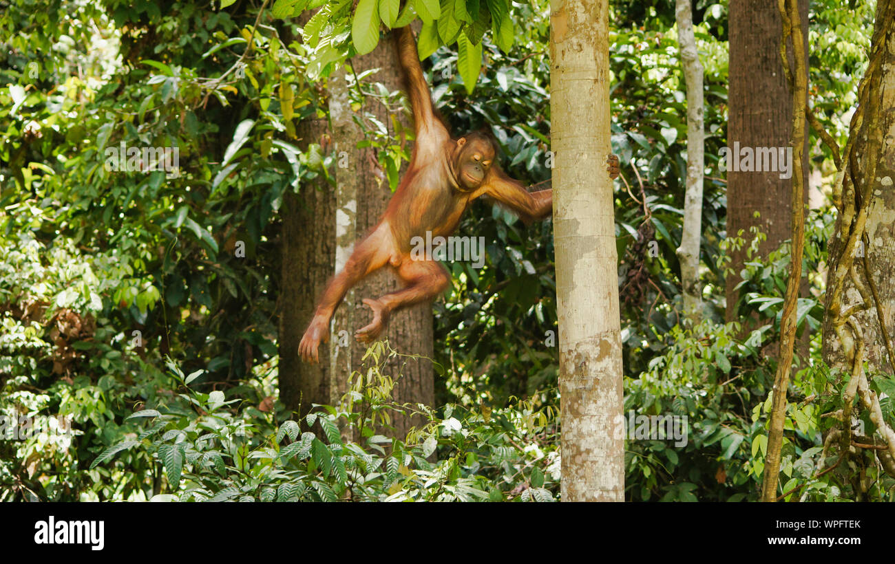 Orangutan Climbing On Trees, Borneo, Malaysia, Sepilok. Stock Photo