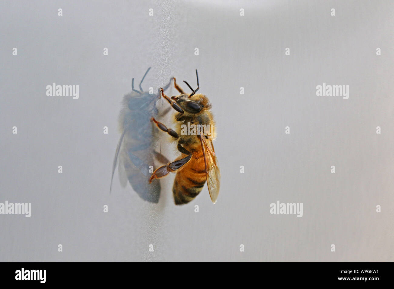 honey bee or worker bee extreme close up Latin apis mellifera crawling on a shiny surface in springtime in Italy Stock Photo