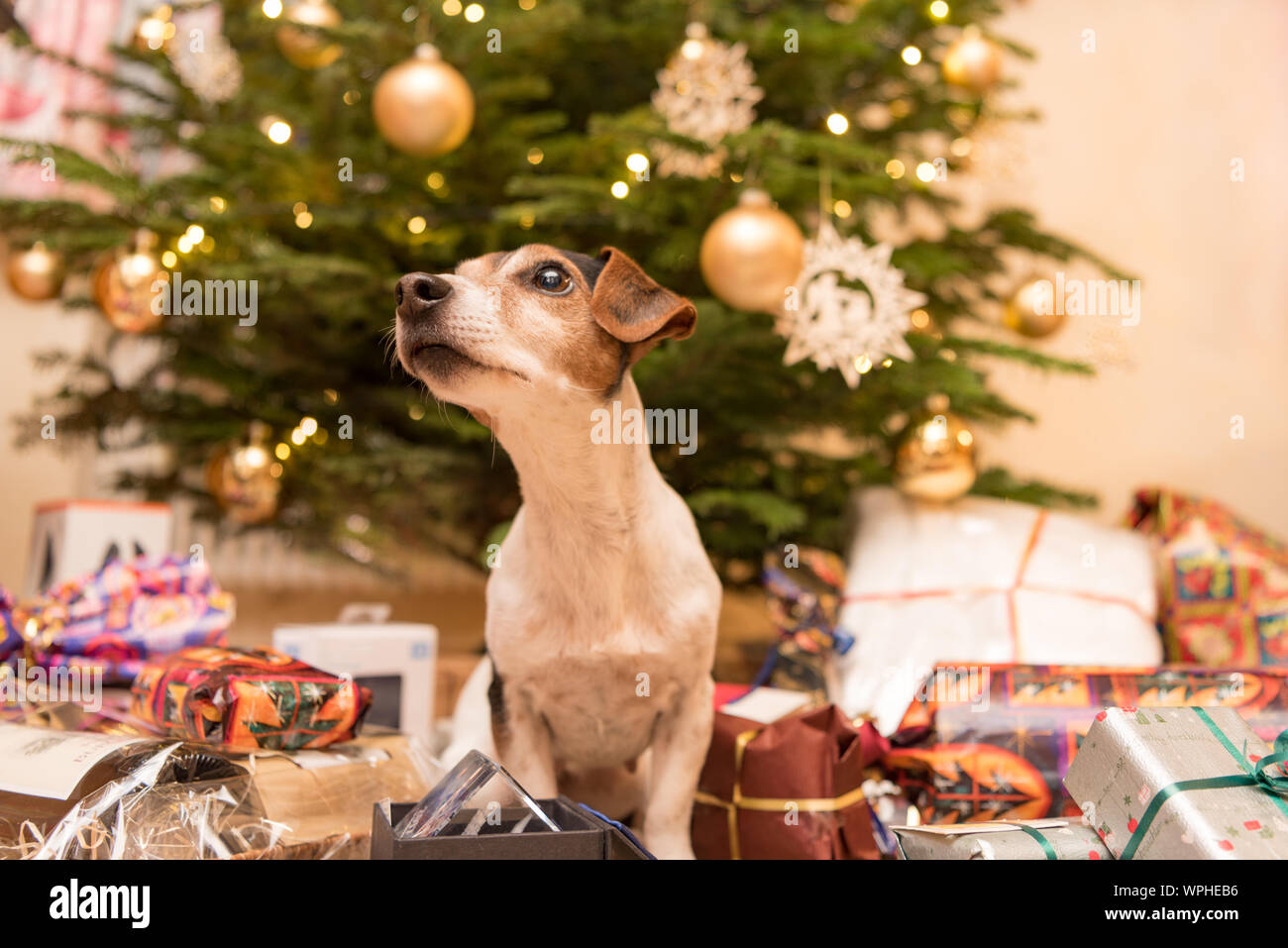 Heb Hours Christmas Eve.Jack Russell Terrier 11 Years Old Dog Is Sitting At The