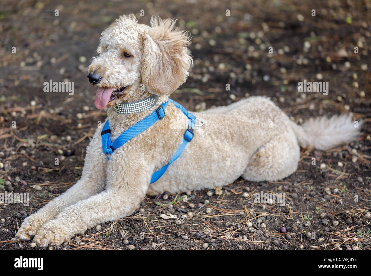 Labradoodle (Labrador retriever and poodle cross breed) lying down. Off-leash dog park in Northern California. Stock Photo