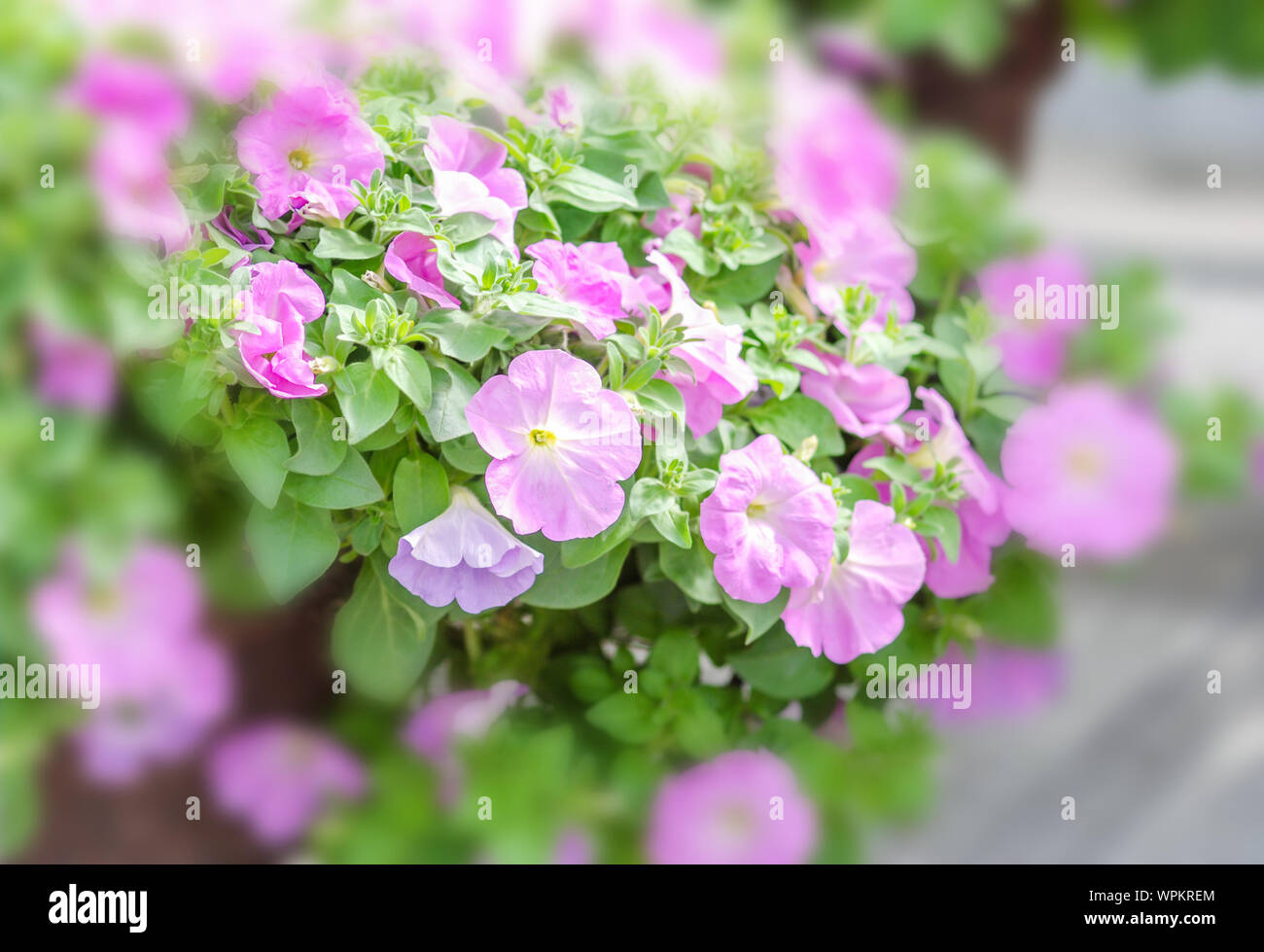 Colorful petunia flowers, Grandiflora is the most popular variety of petunia, with large single or double flowers that form mounds of colorful solid, Stock Photo