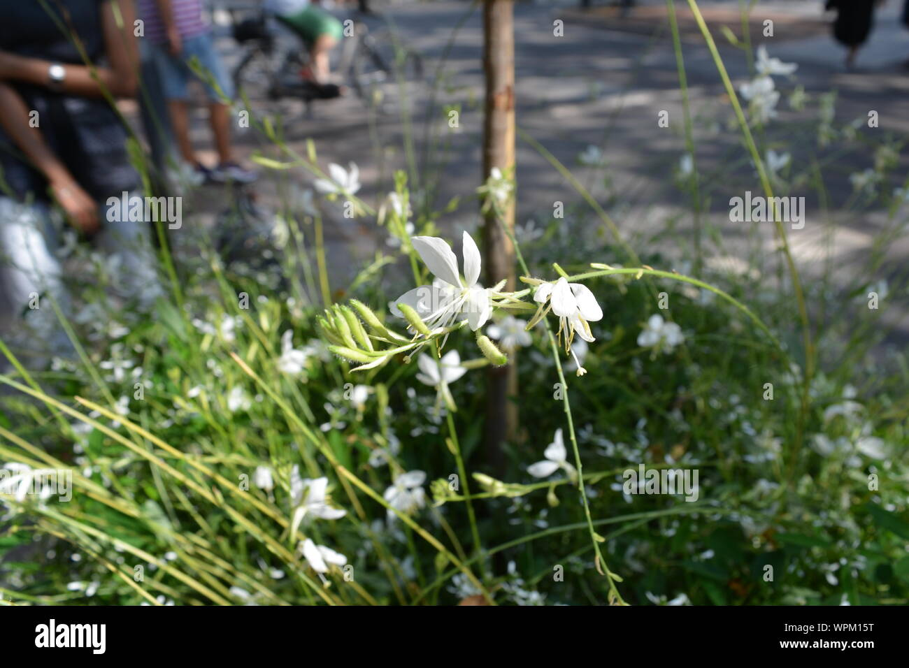 White gaura also known as Lindheimer's beeblossom in a garden at Duesseldorf in Germany Stock Photo