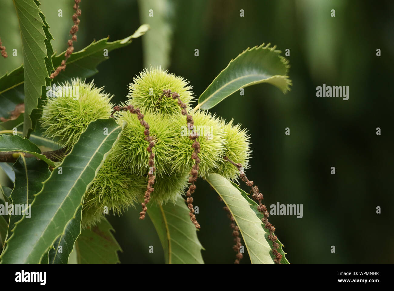 A branch of Chestnuts on a Sweet Chestnut Tree, Castanea sativa, growing in woodland in the UK. Stock Photo