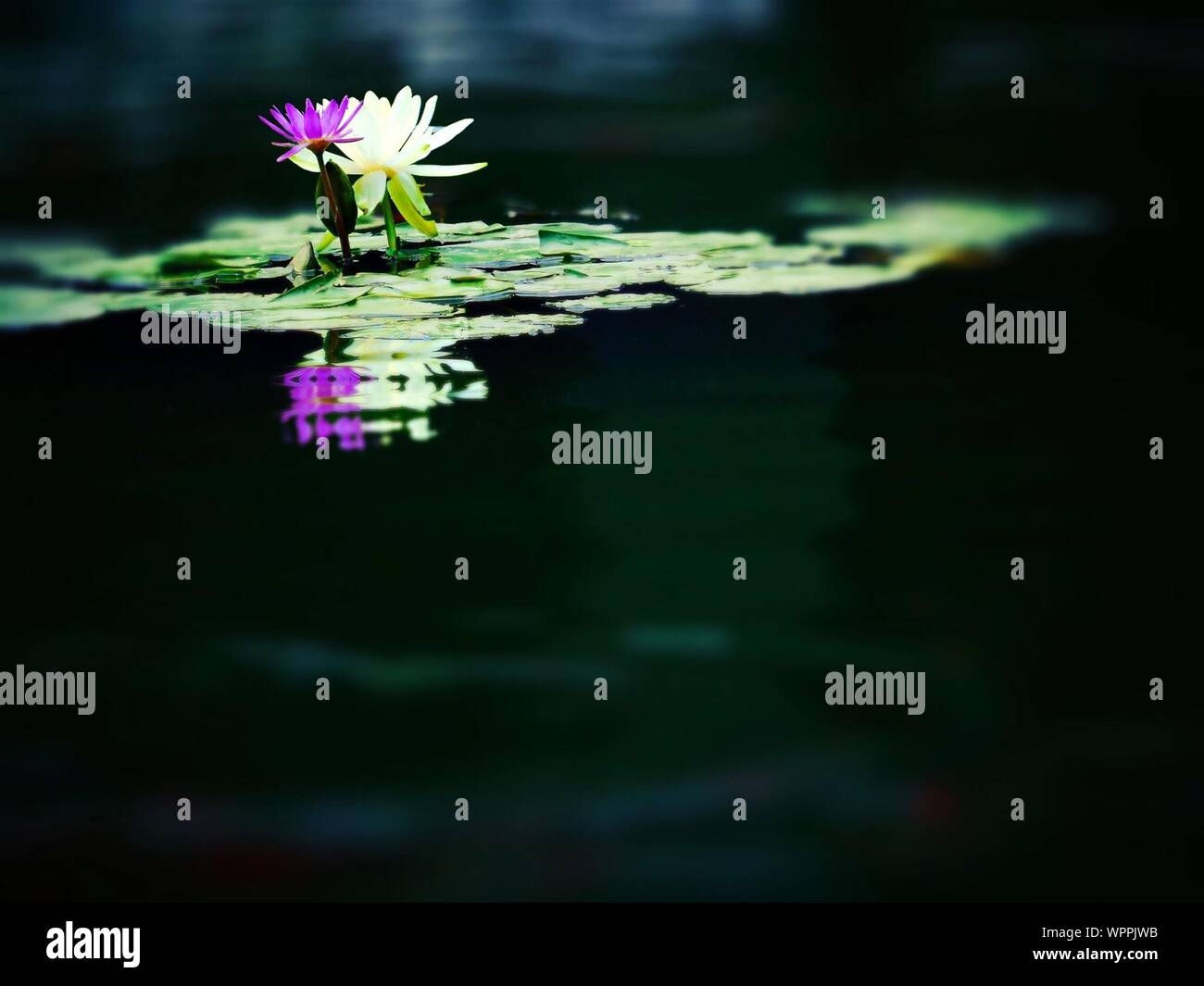Water Lilies Blooming In Lake Stock Photo