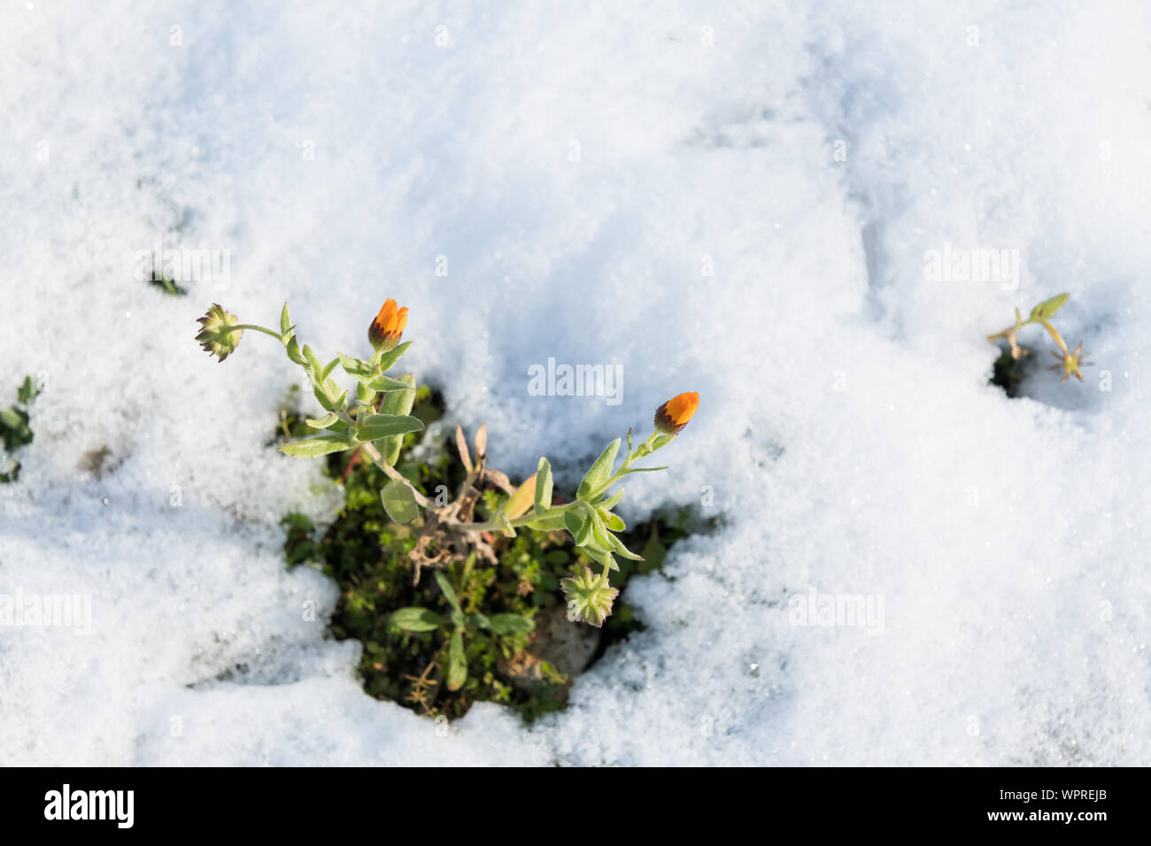 frozen marigold under the snow in a field a day of snow in salento an unusual winter in puglia selective focus WPREJB