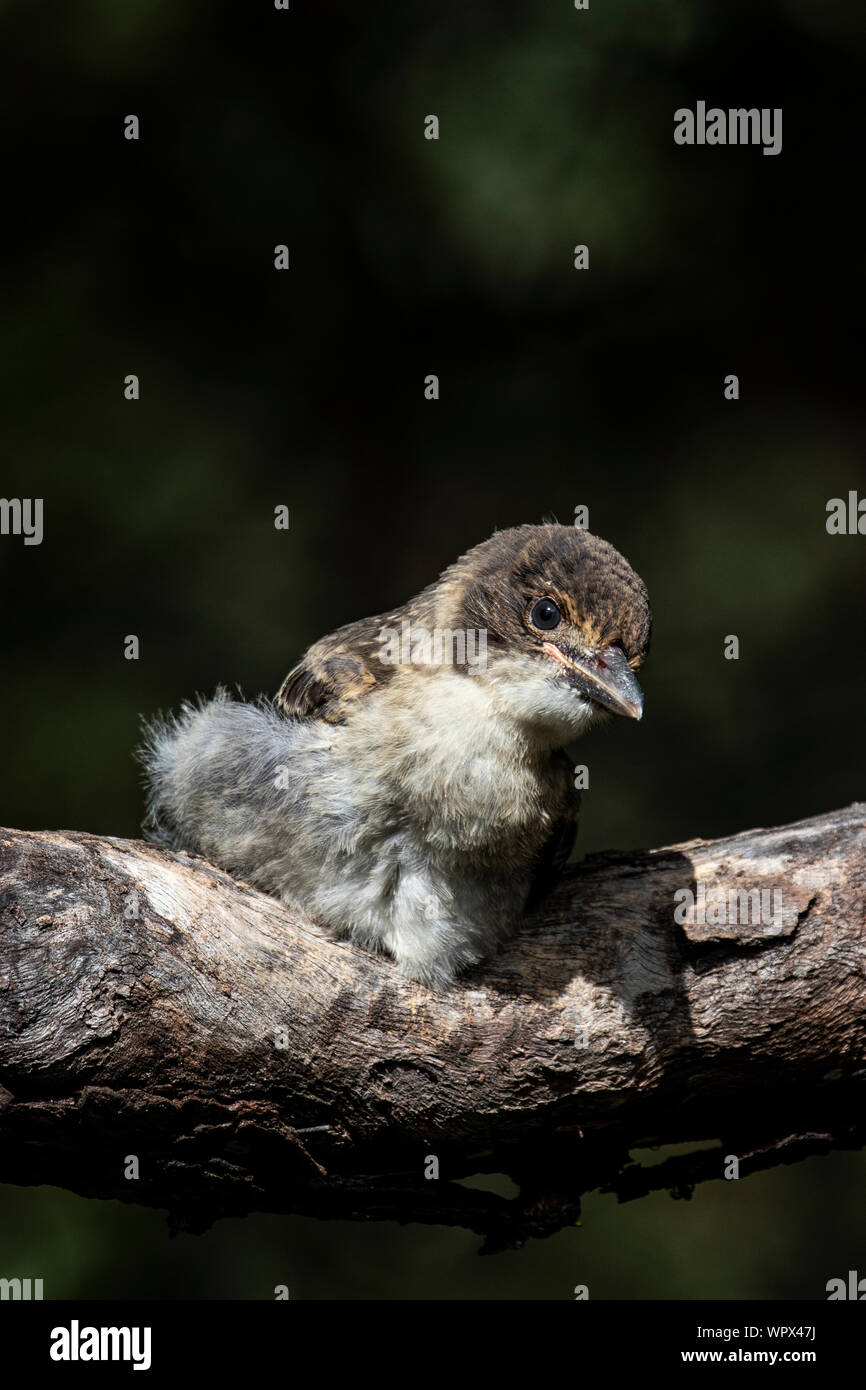 A baby butcher bird waiting for Mum to come back and feed him Stock Photo