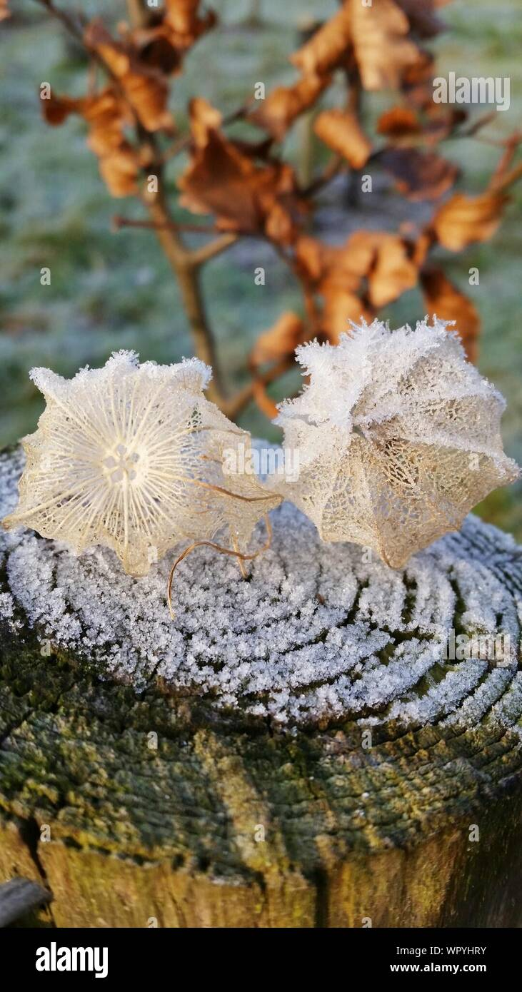 High Angle View Of Winter Cherry Coverings On Tree Stump During Winter Stock Photo