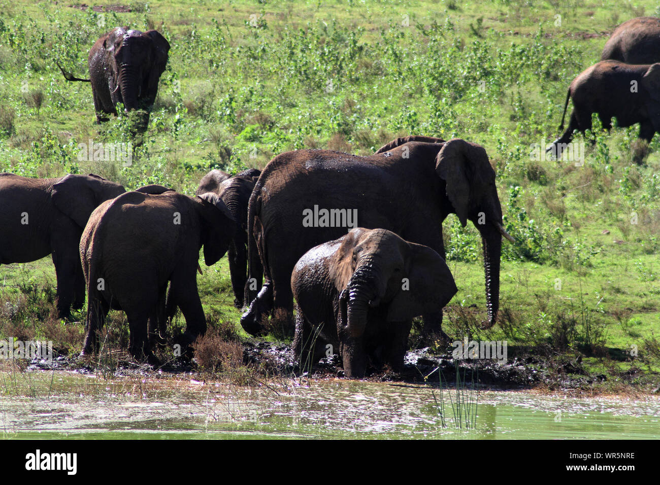 Herd of elephants playing and drinking by the waters edge, Pongolapoort Dam, South Africa Stock Photo
