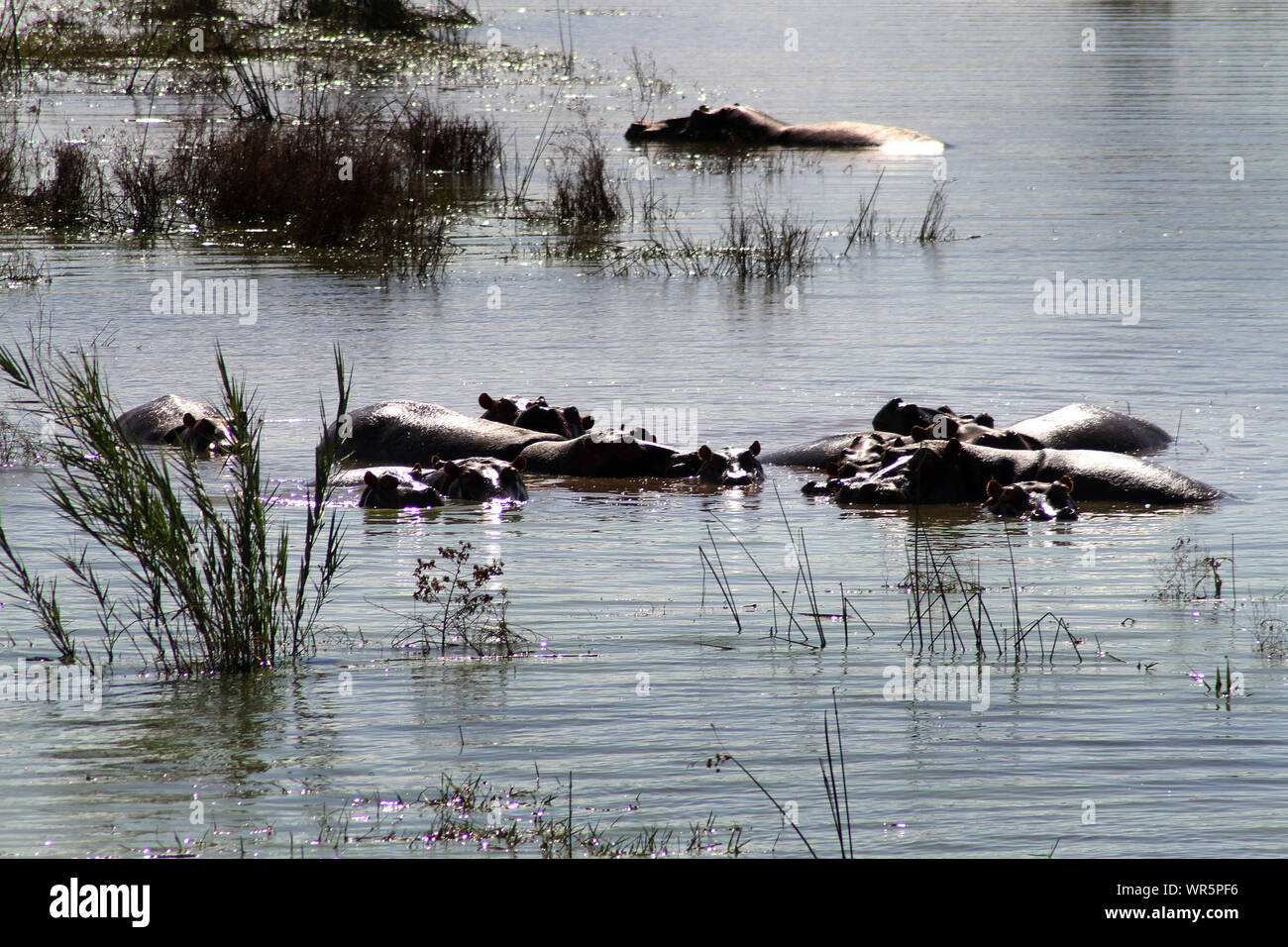 Pod of hippopotamus relaxing in the water at Pongolapoort Dam, South Africa Stock Photo