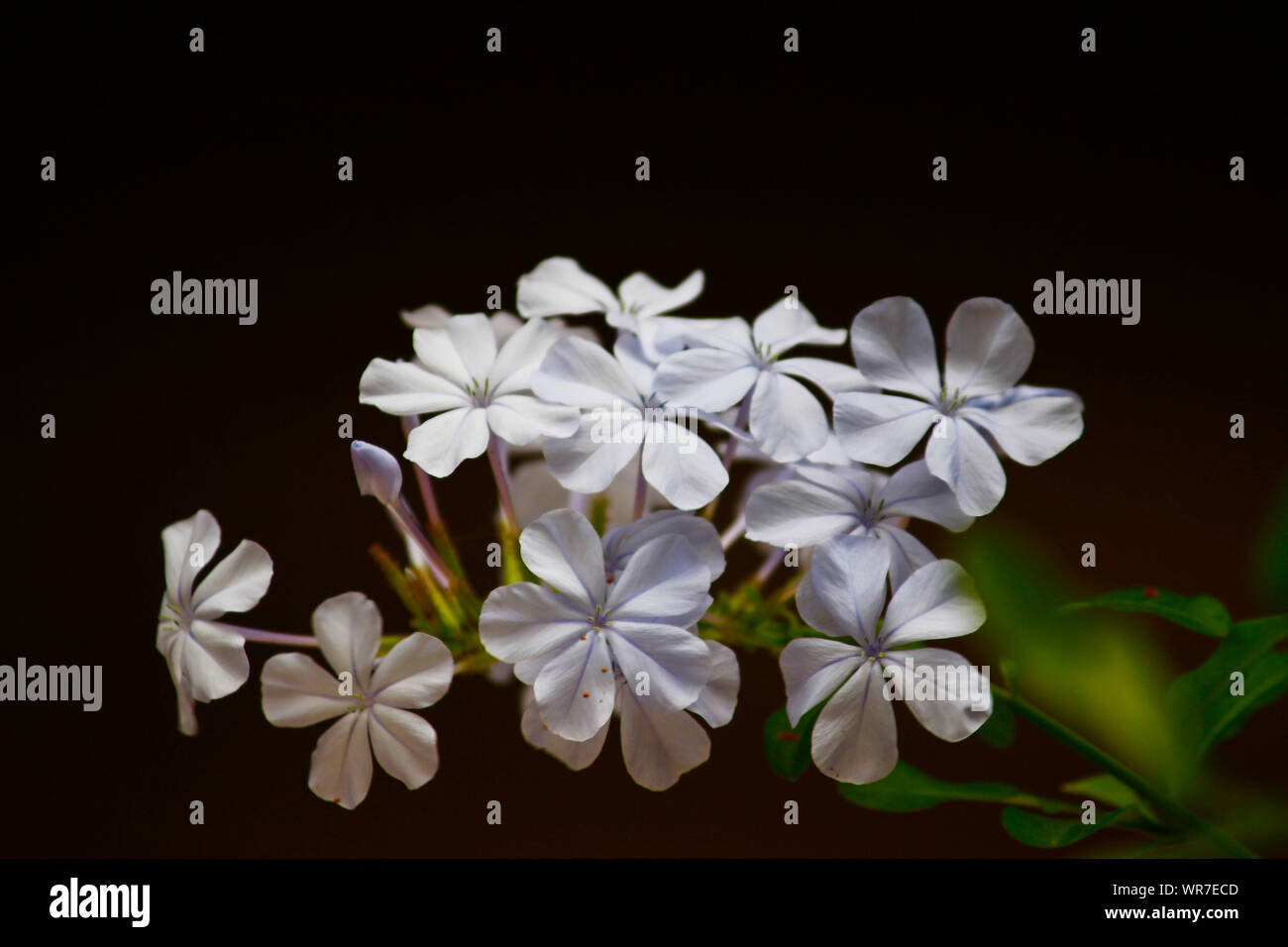 THE MILKY WHIITE FLOWERS Stock Photo