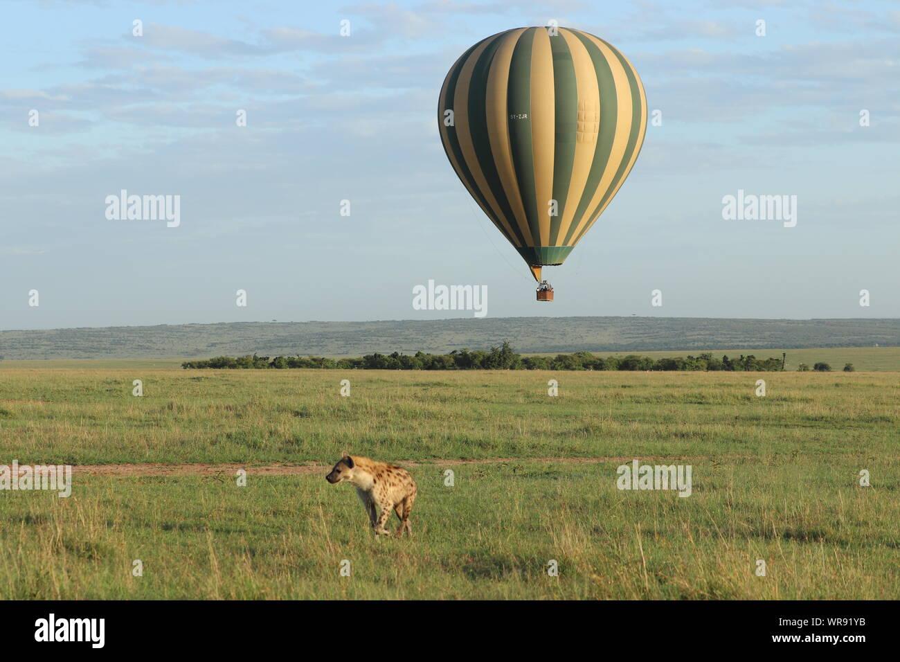 Spotted hyena and hot air balloon in the savannah, Masai Mara National Park, Kenya. Stock Photo