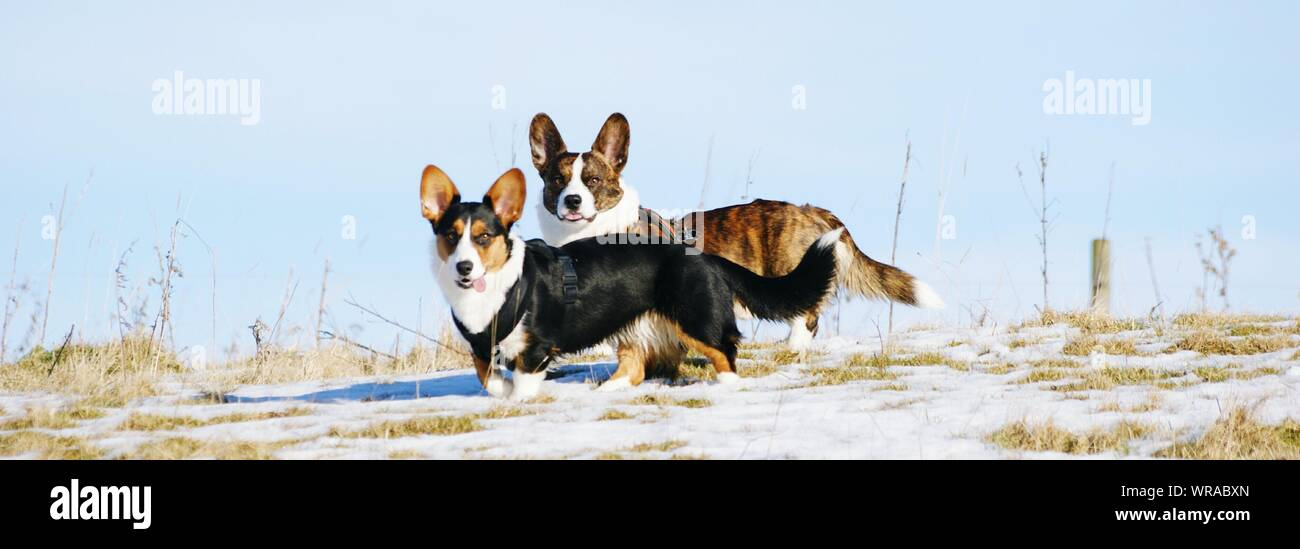 Panoramic Shot Of Cardigan Welsh Corgis On Snow Covered Field Against Sky Stock Photo
