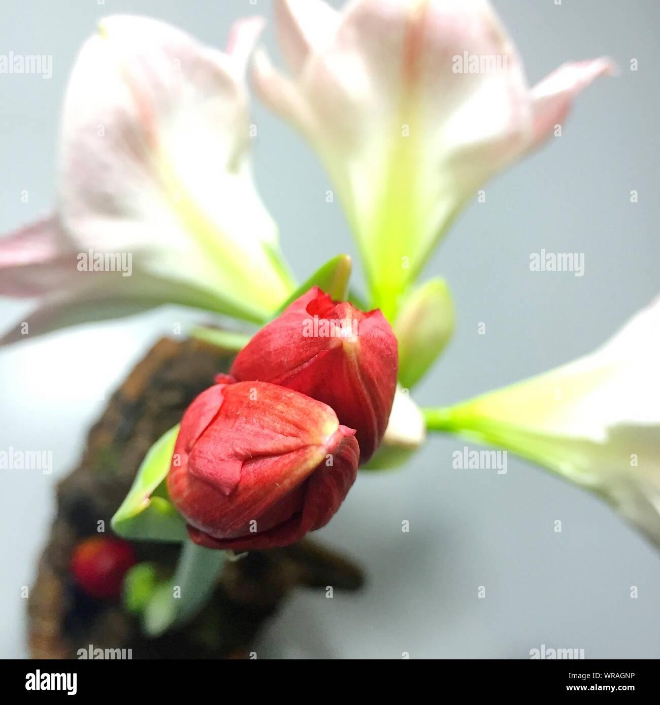 Close-up Of Amaryllis Against White Background Stock Photo