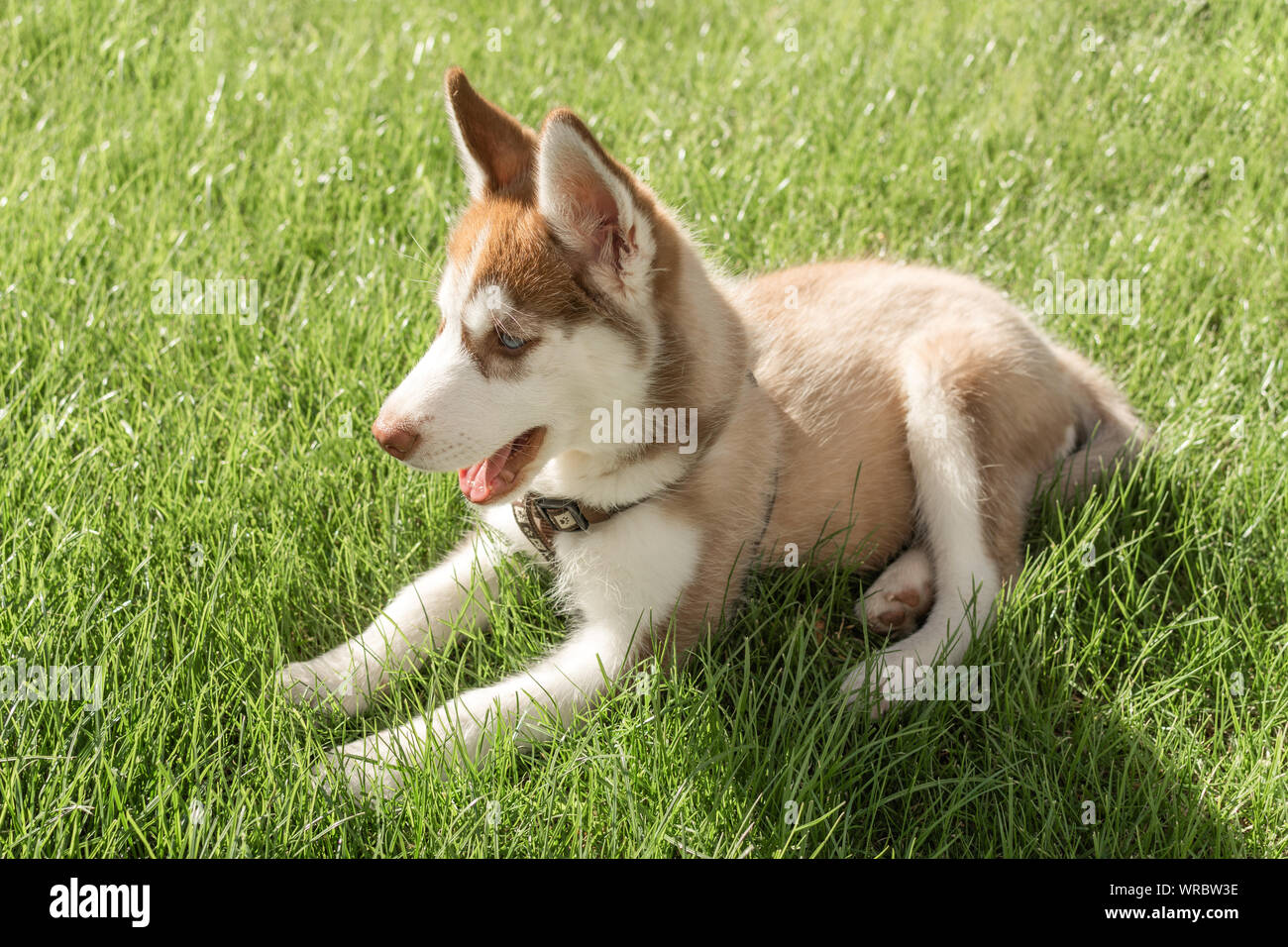 Husky Puppy Playing In A Green Grass Outdoor Siberian Beautiful White And Brown Dog Stock Photo Alamy