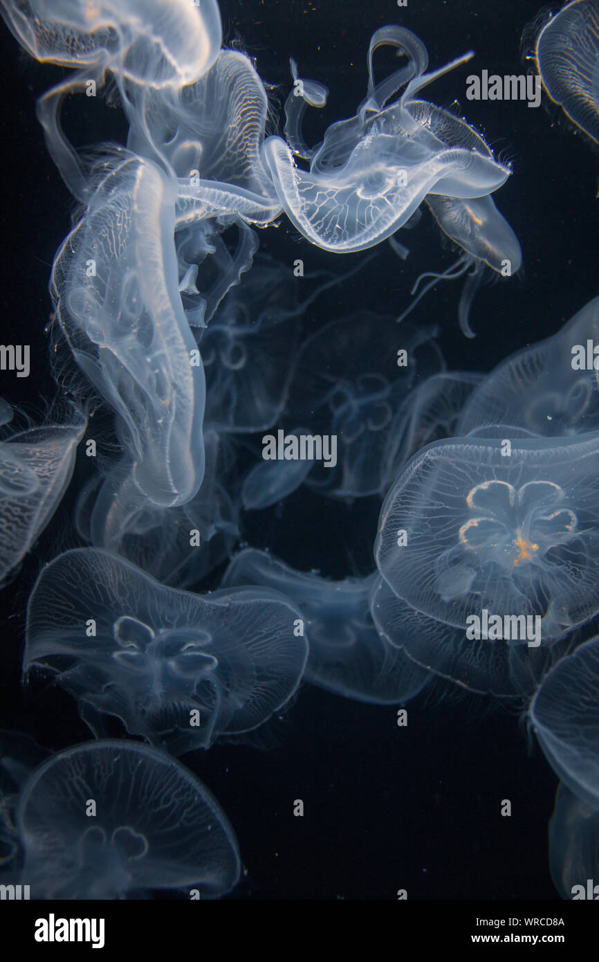 Closeup view of moon jellyfish (Aurelia labiata) drifting with the current into bright light in front of a black background Stock Photo