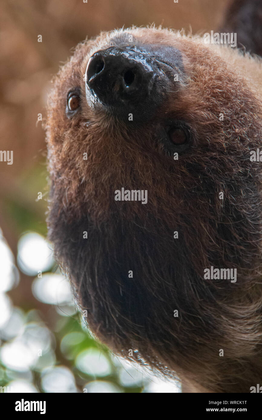 Close-up view of the head of a linnaeus's two-toed sloth (Choloepus didactylus) hanging upside down in a tree Stock Photo