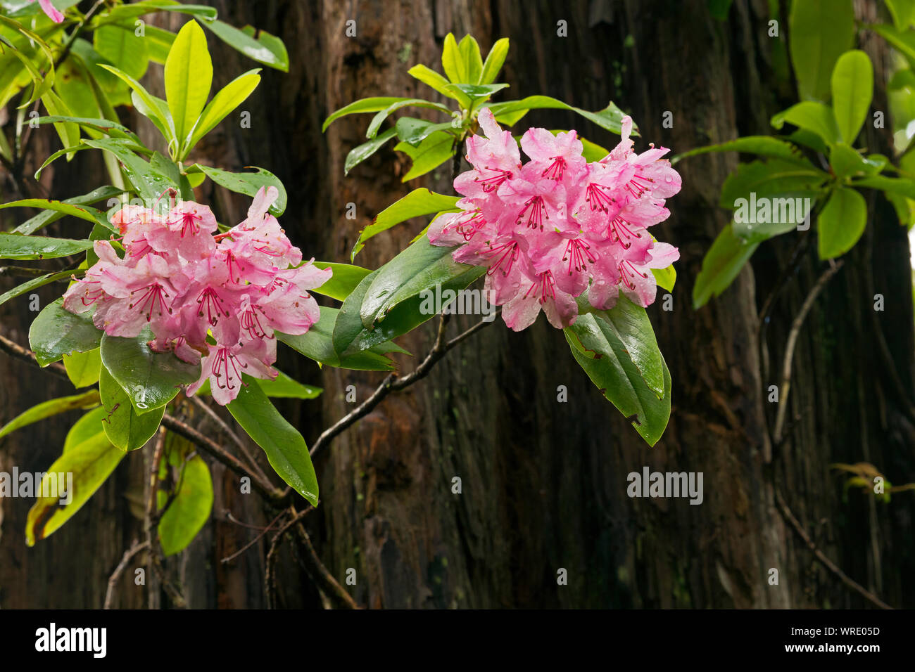 CA03516-00...CALIFORNIA - Rhododendrons and a large redwood tree after a rain storm on the Hiouchi Trail in Jedediah Smith Redwoods State Park, part o Stock Photo