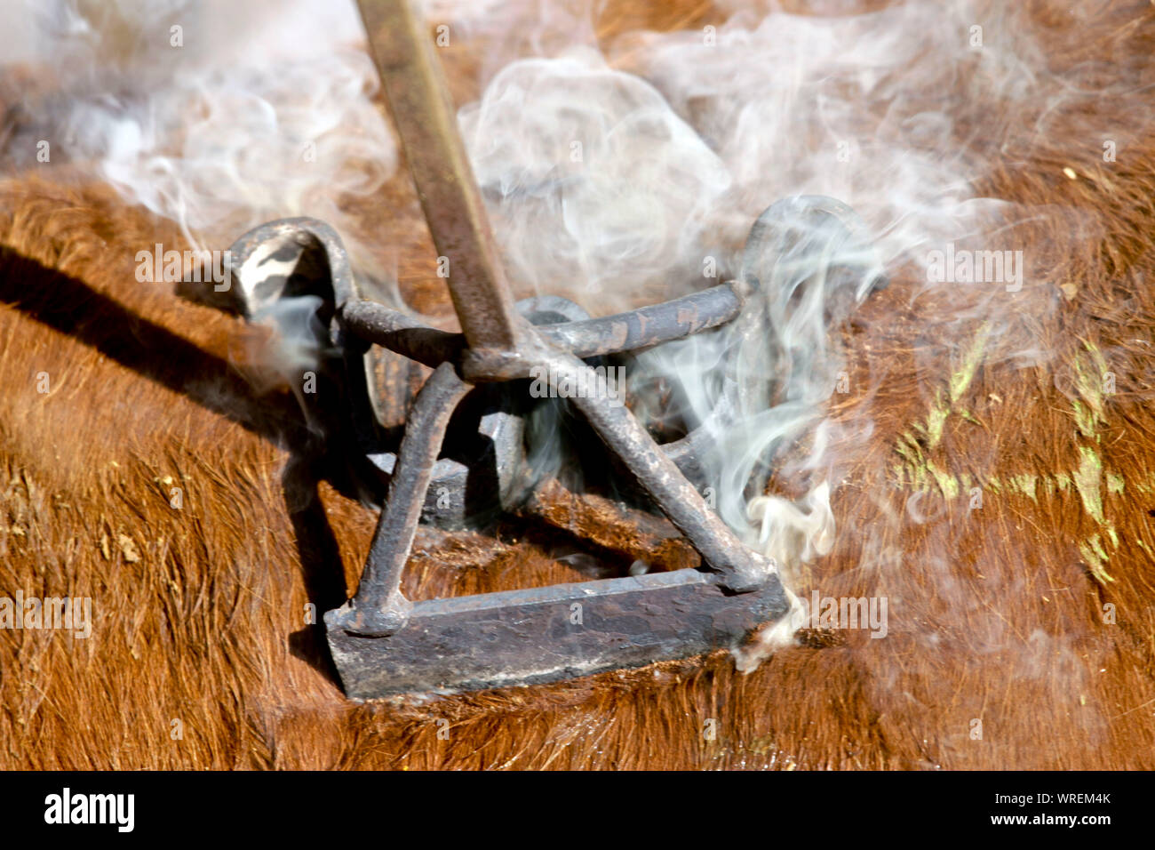 Cattle branding on a remote West Texas ranch. Stock Photo