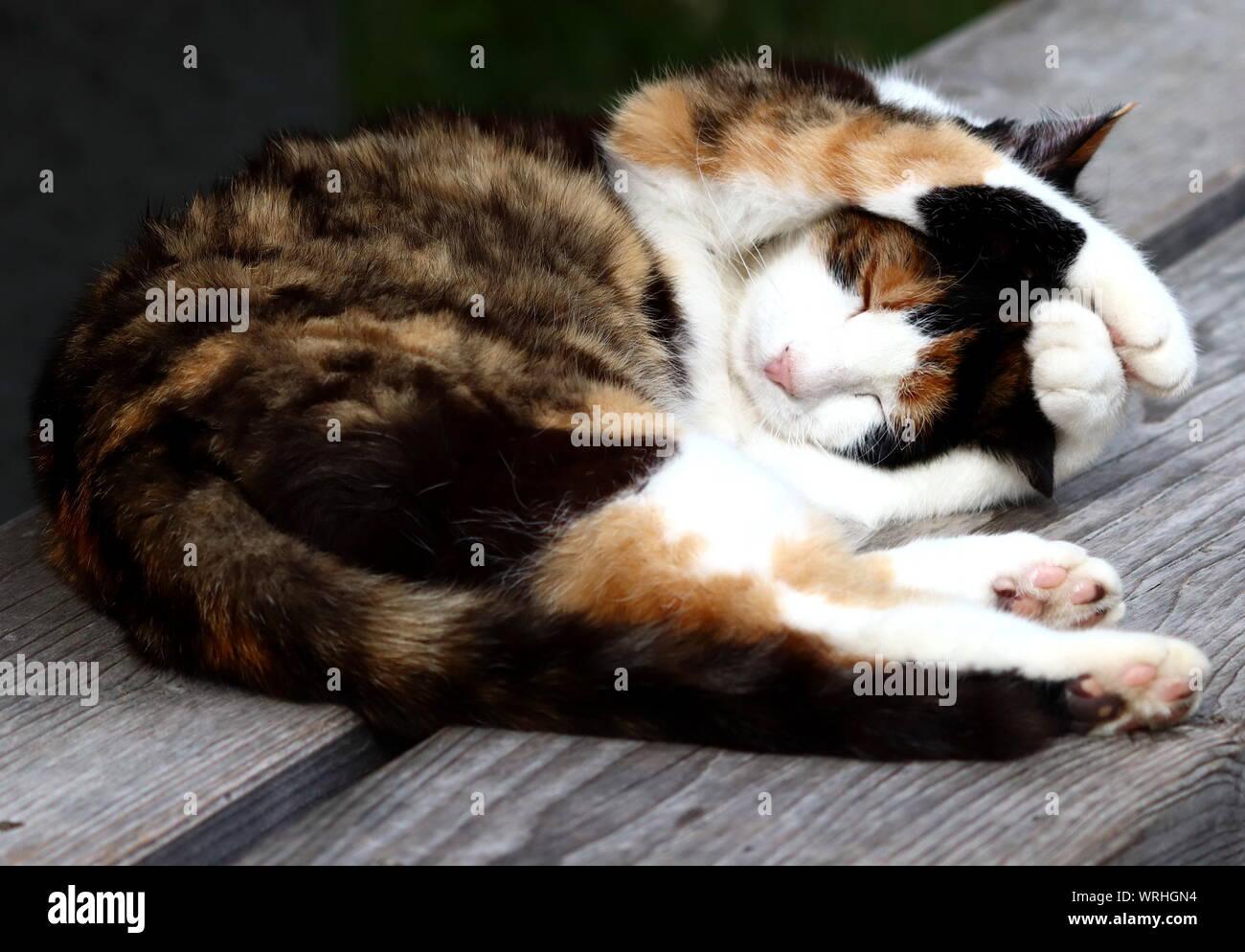 Sich putzende Katze liegend auf einer Bank, Pfoten über dem Kopf   Katzenwäsche * Preening cat lying on a bench with paws over its head   Cat's lick Stock Photo